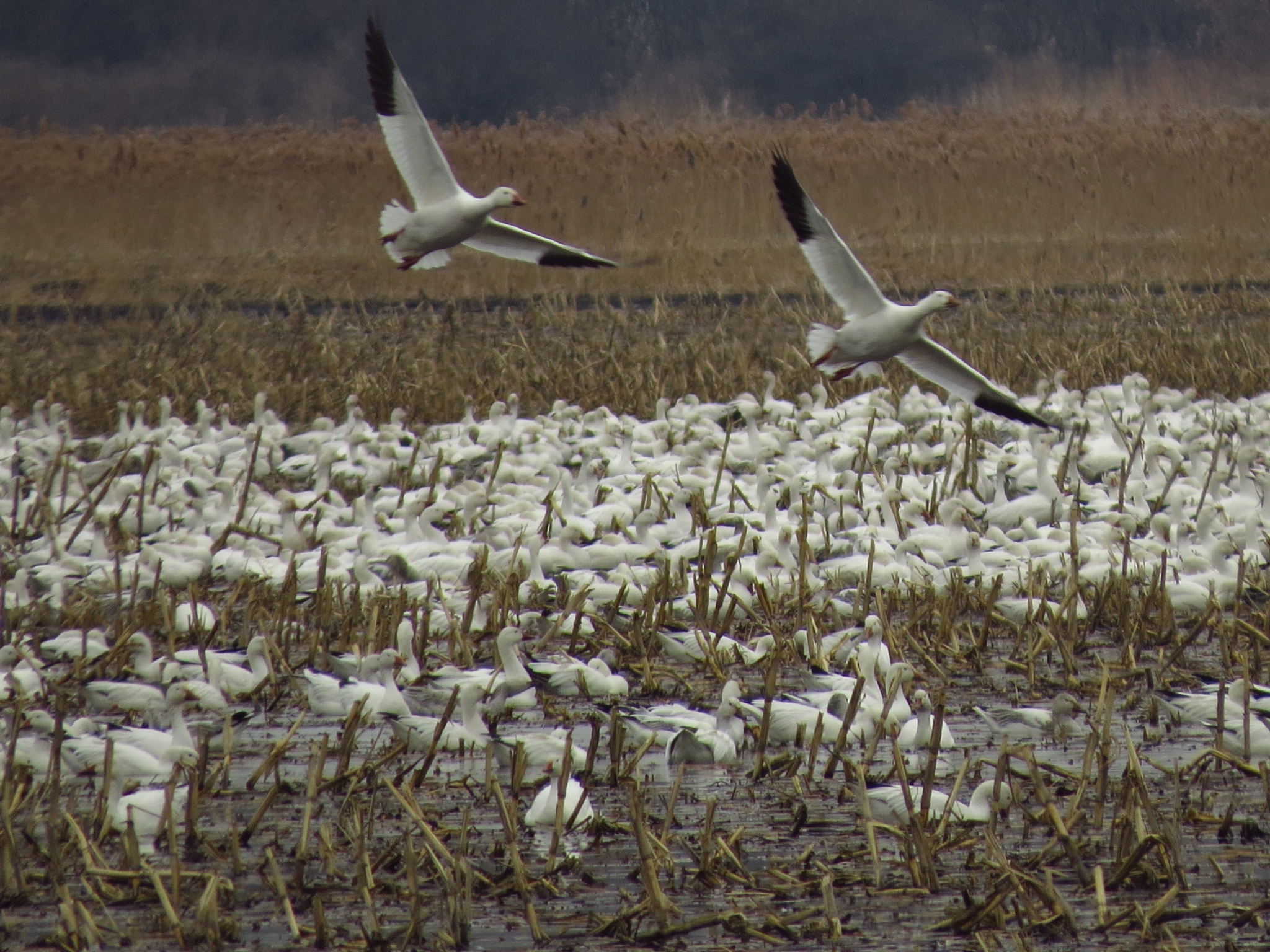 Snow Geese by sweiland