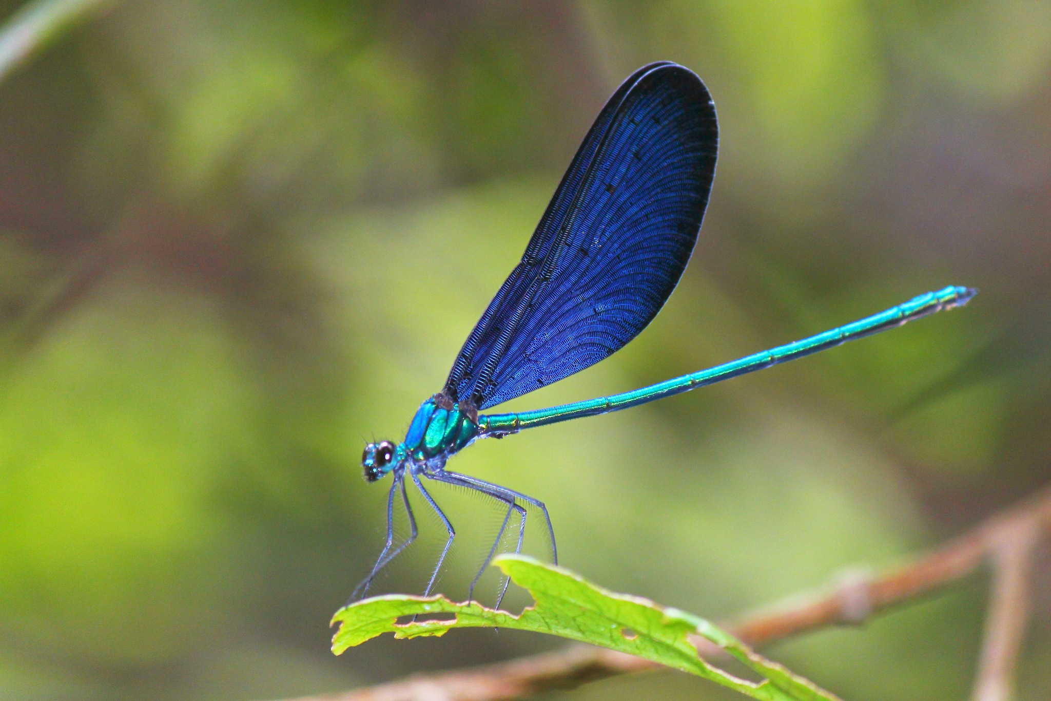 Damselfly by myhsu123