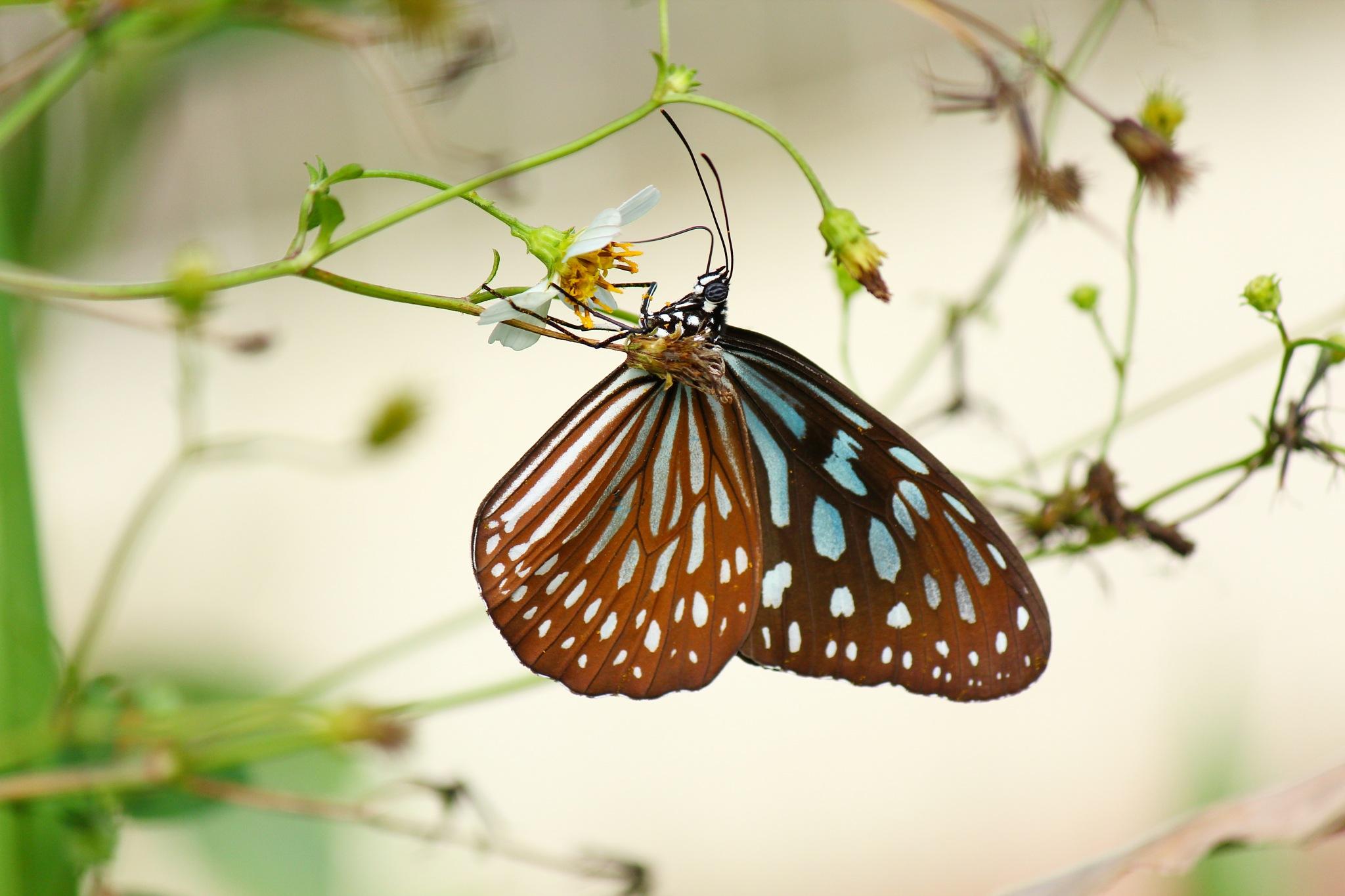 Butterfly by myhsu123