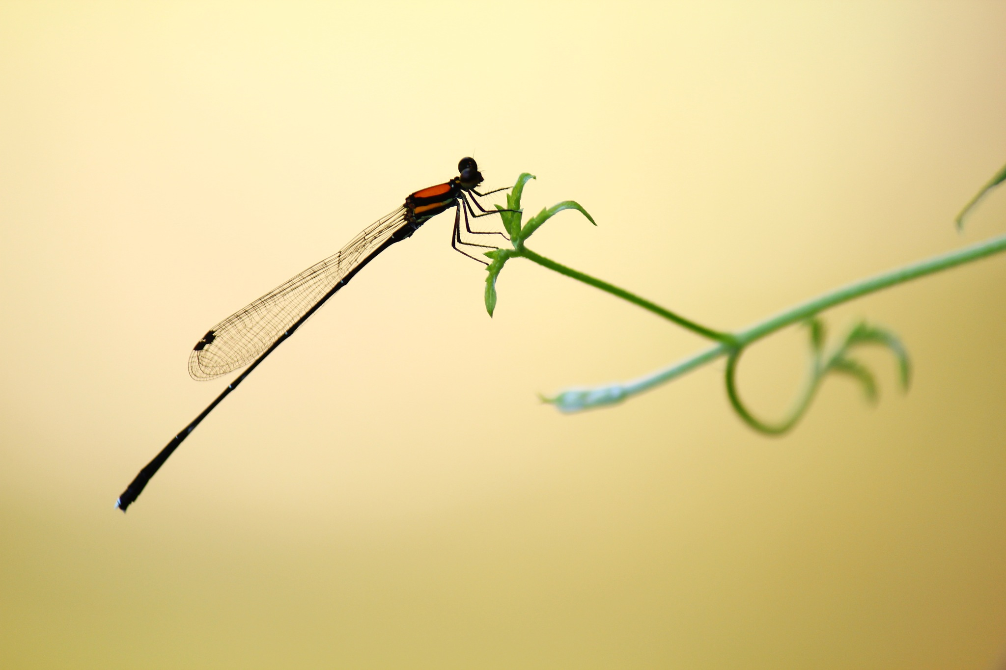 Danselfly by myhsu123