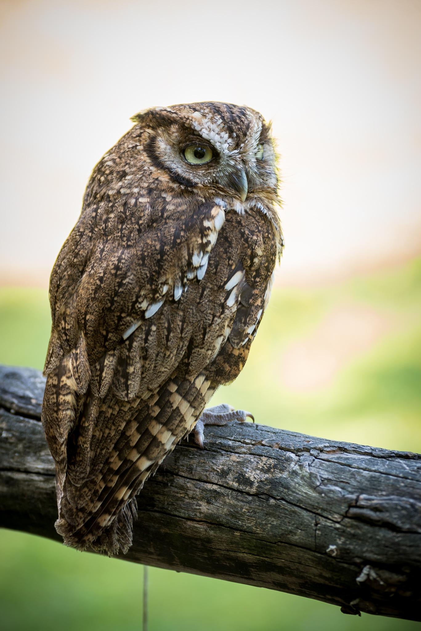 Scops Owl by Michele Masoero