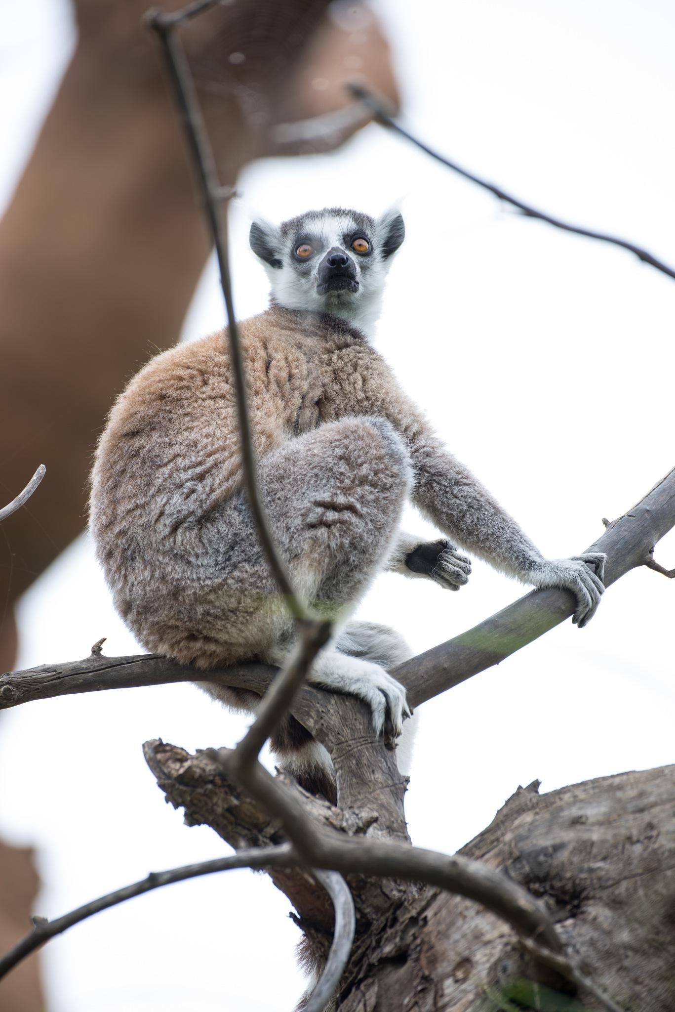 Curious Lemur by Michele Masoero