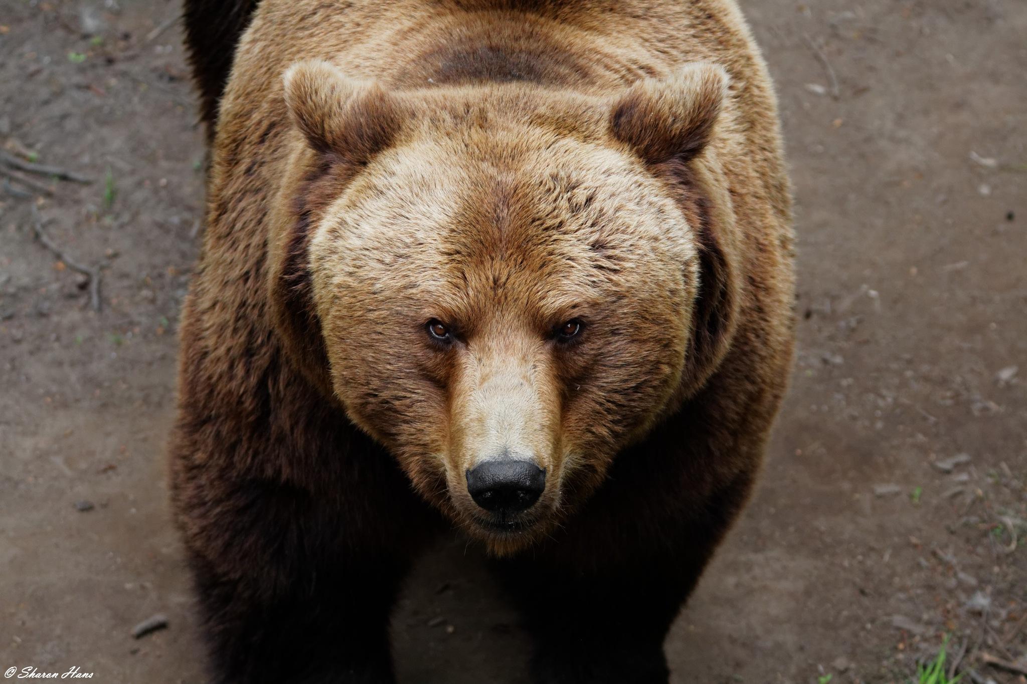 Brown Bear by Sharon Hans