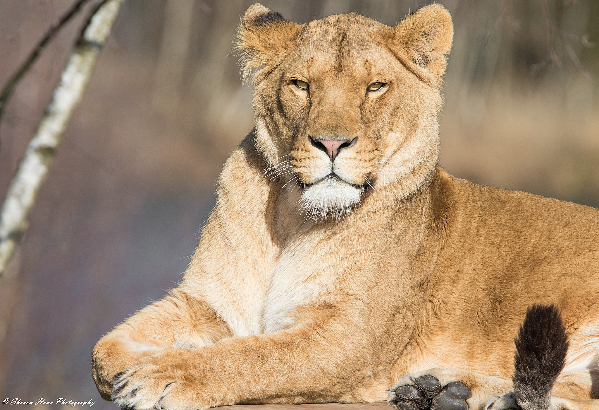 African Lioness by Sharon Hans