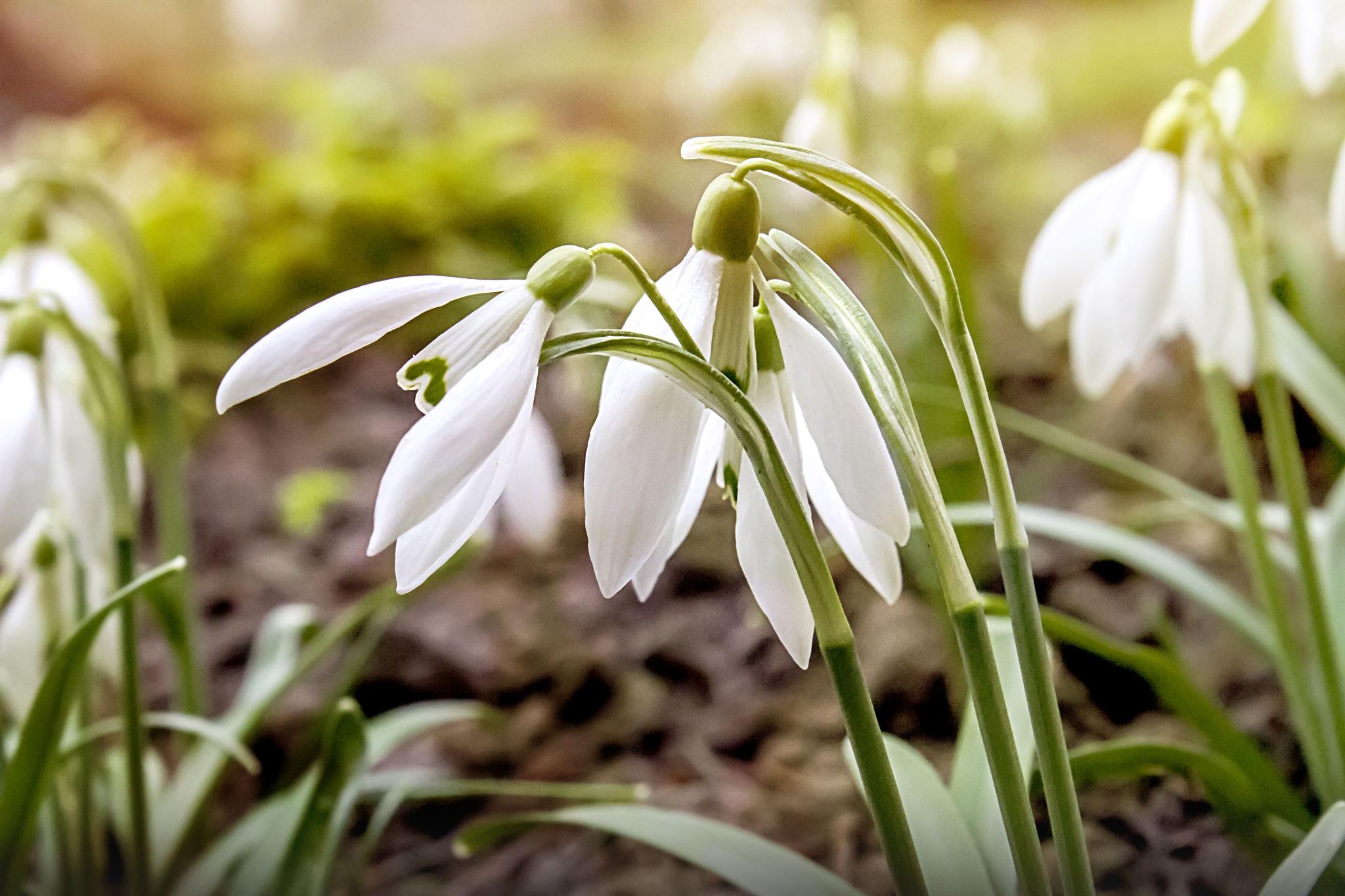 Snowdrops by lenkafortelna