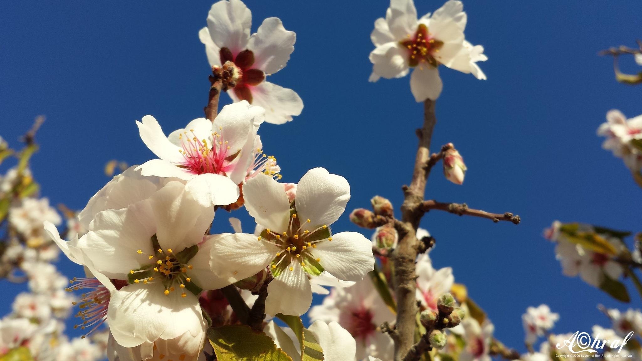 As far as almond flowers .. كزهر اللوز أو أبعد by Achraf Ben Ali