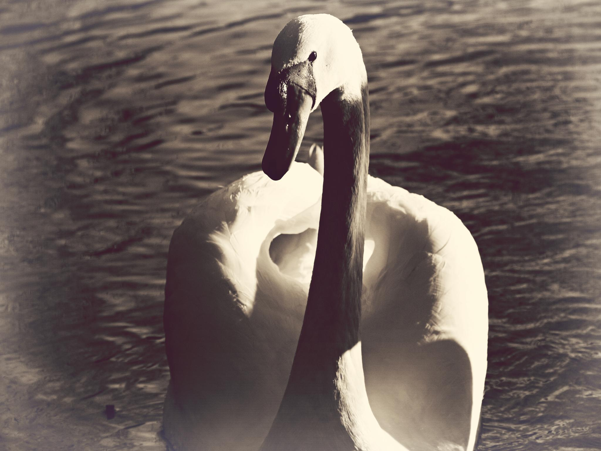 Swan by Tim Durrant