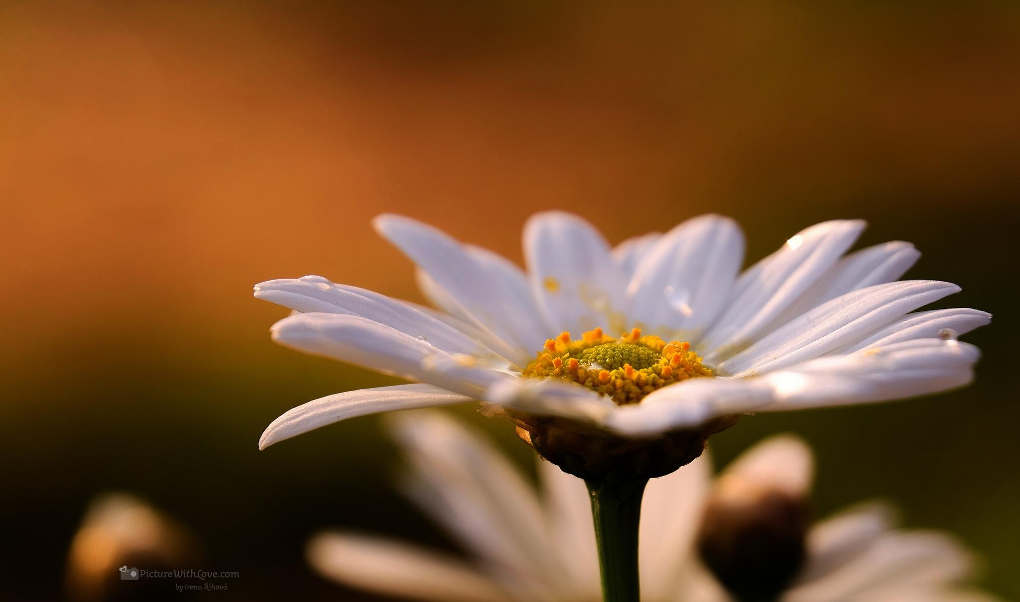 ox-eye daisy (Leucanthemum vulgare) by Irena Rihova