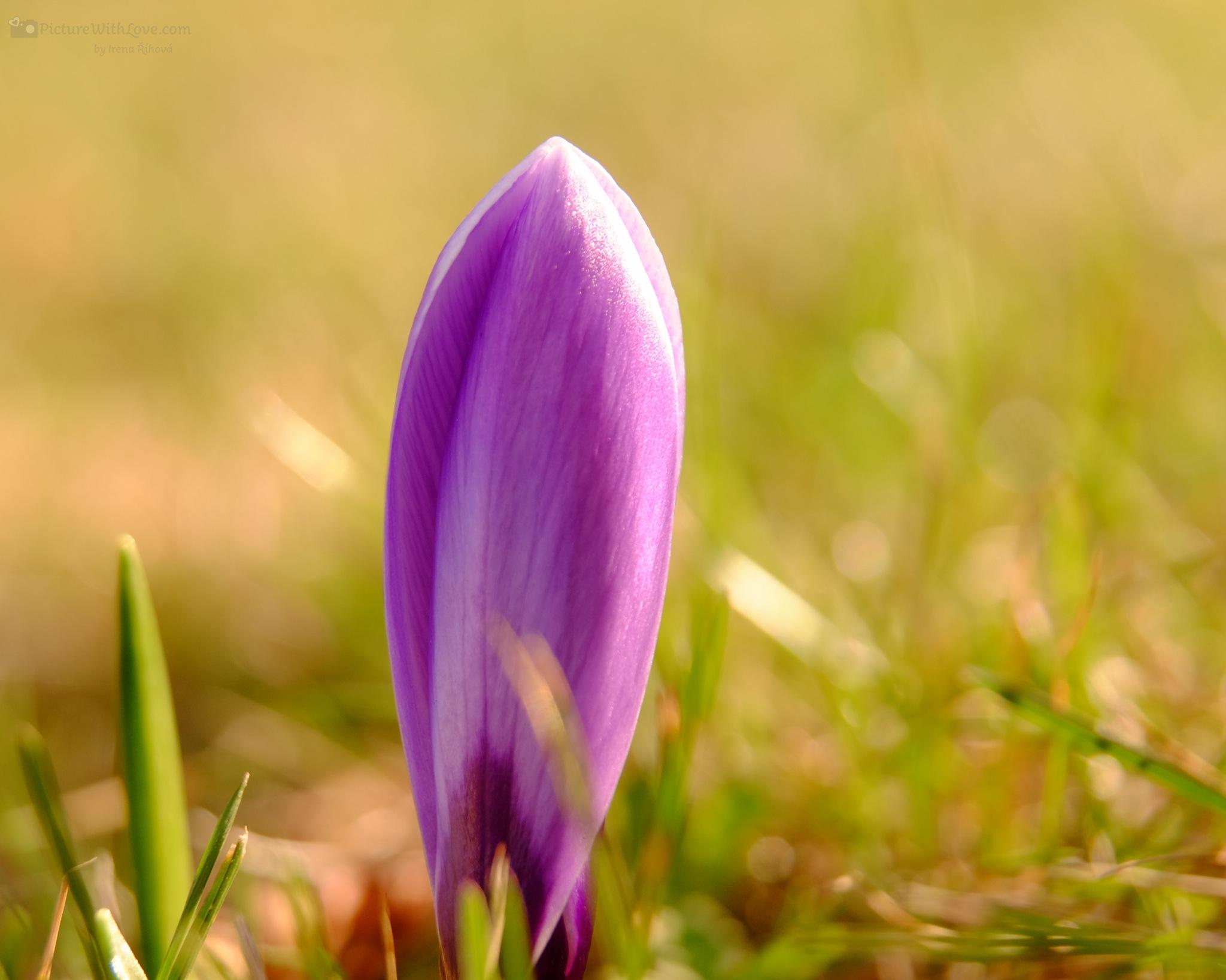 Blossom of Crocus by Irena Rihova