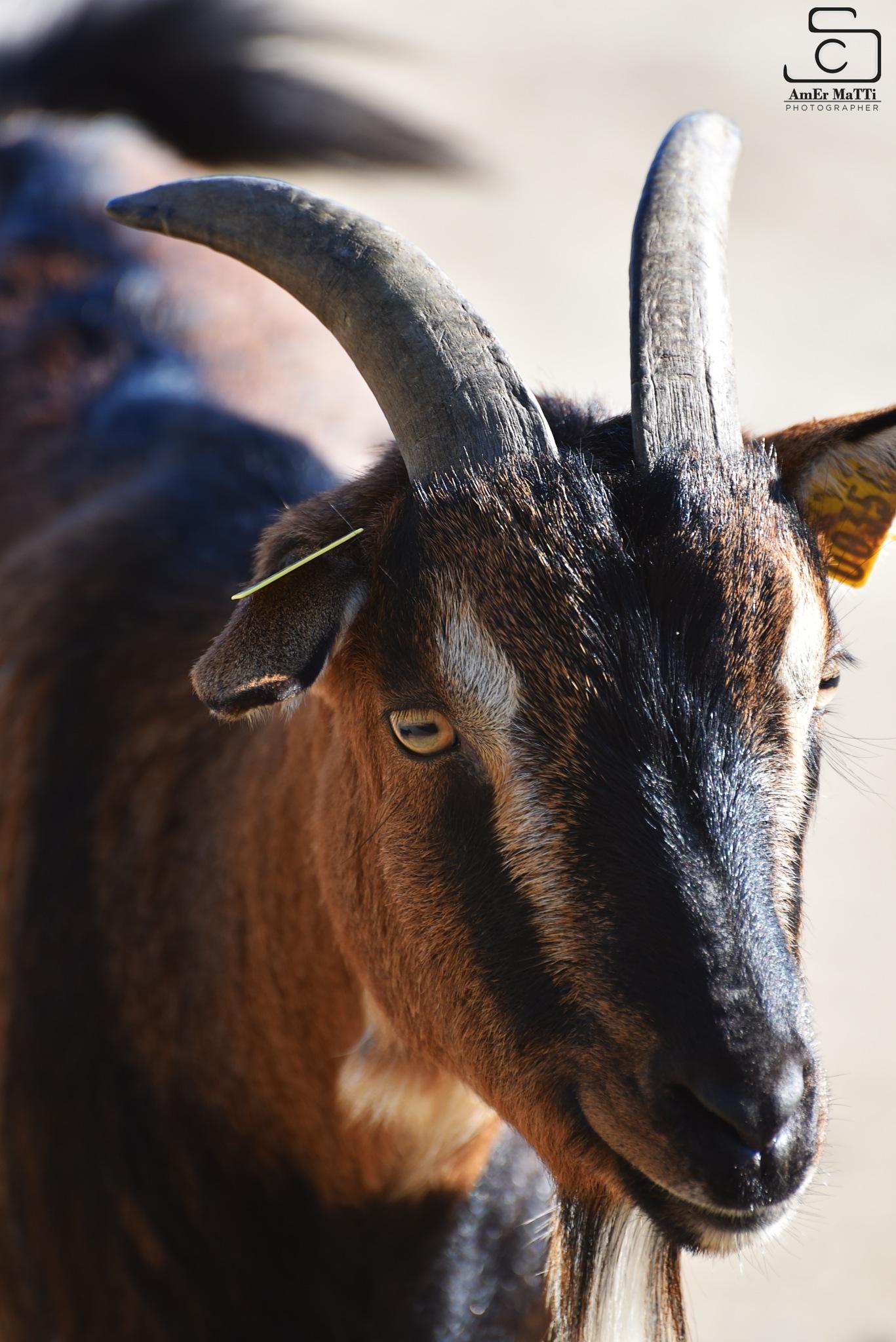 chèvre by Amer BARSOUM