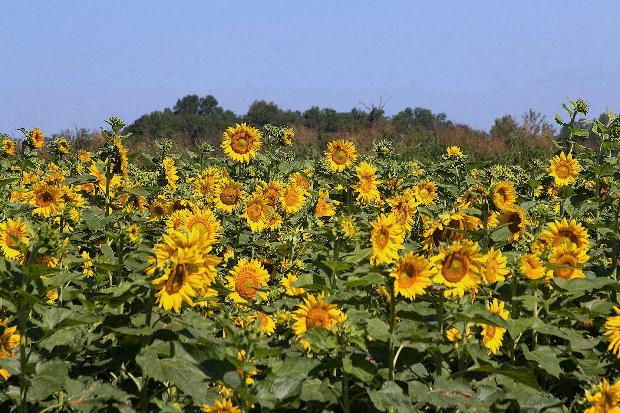 Sunflowers 2 by Joe Seawright