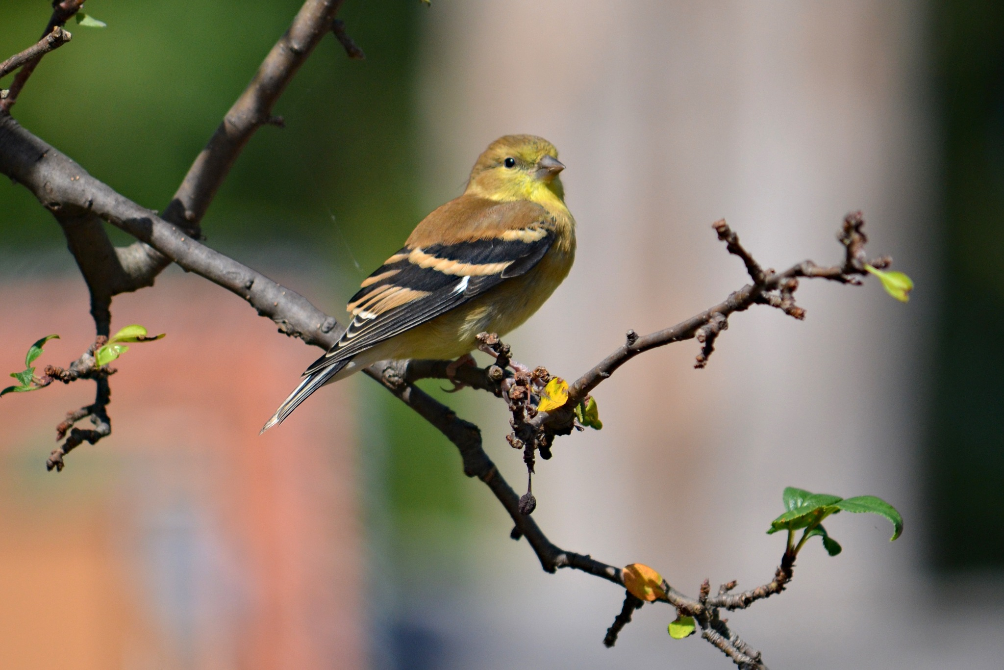 Yellow Warbler by Renee Kennedy