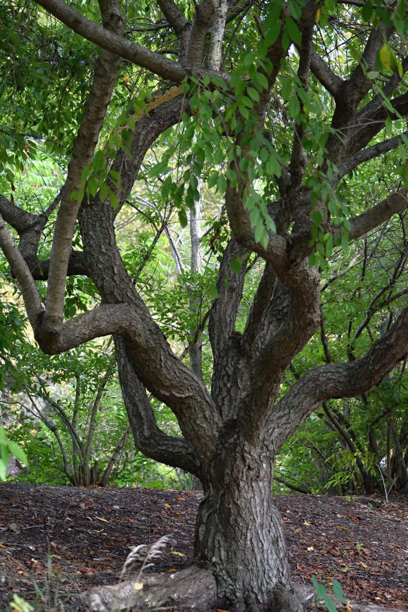 A Gnarled Tree by Renee Kennedy