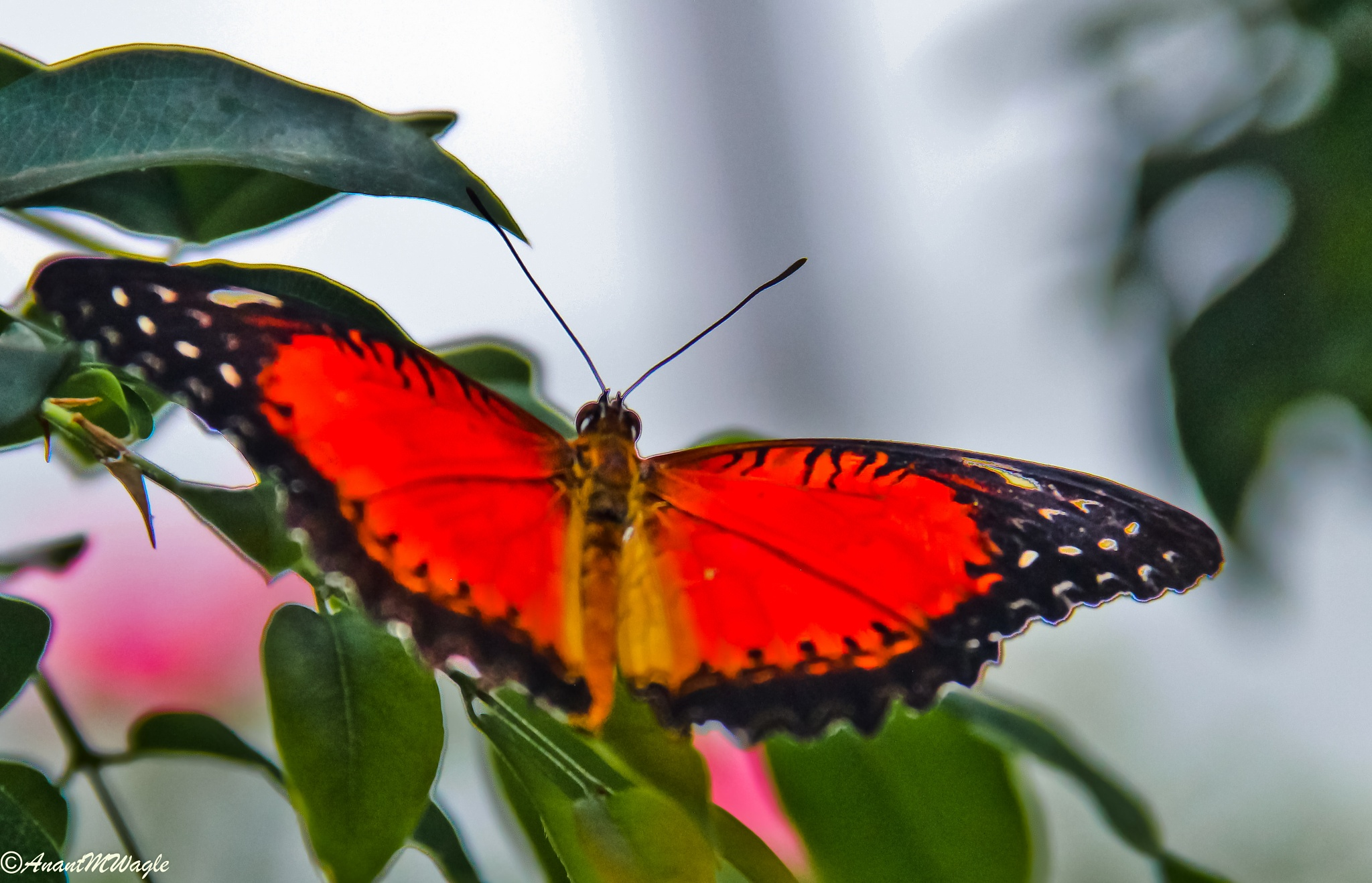 Butterfly by Anant Wagle