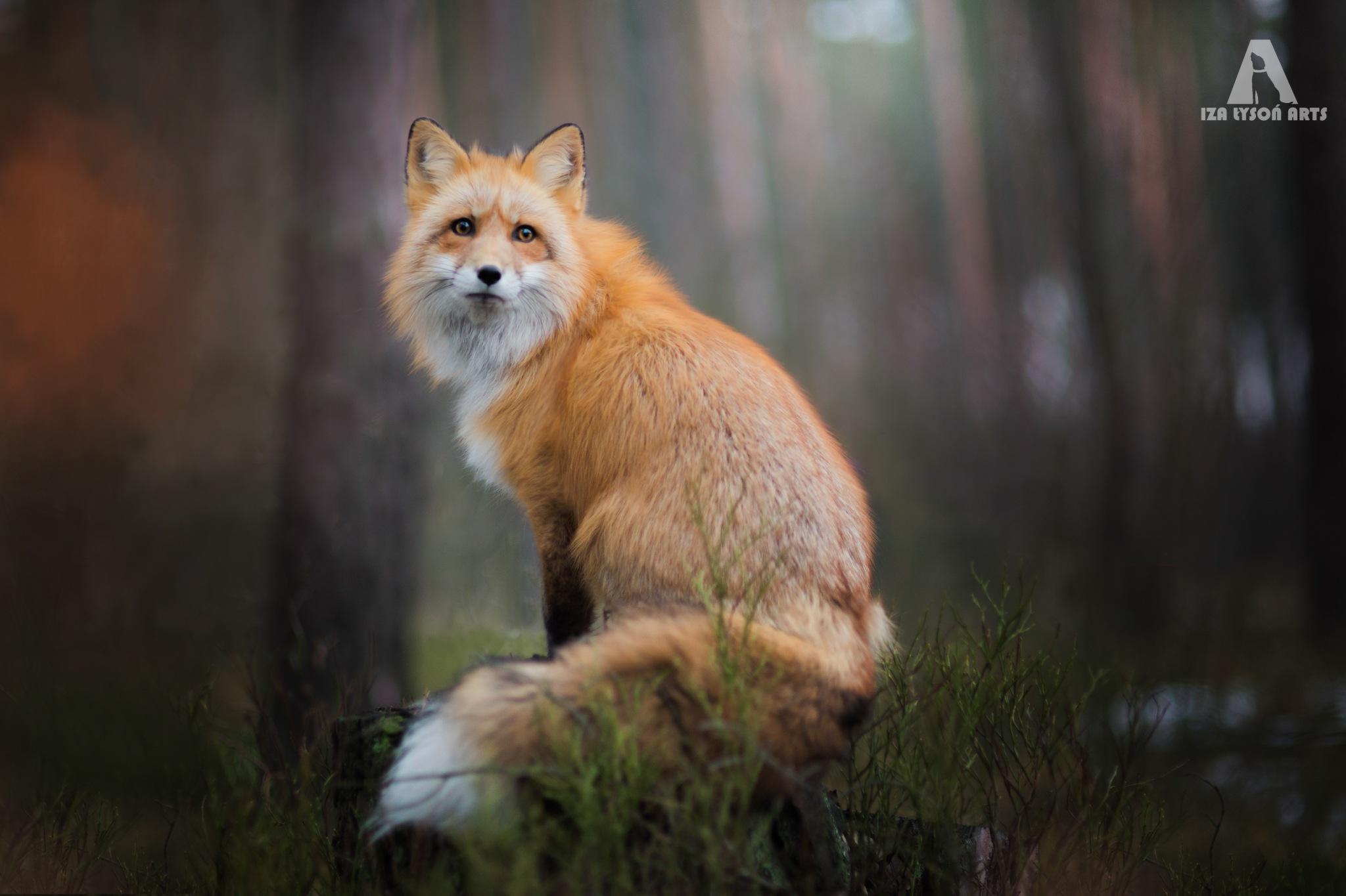 Fox by IzaLyson