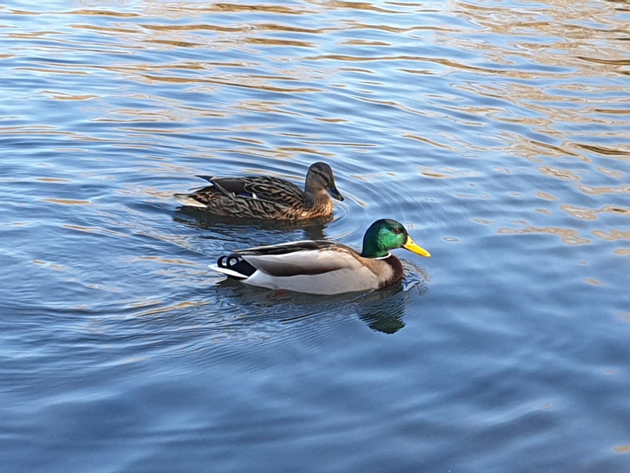 Photo in Random #ducks #couple #pond #happy