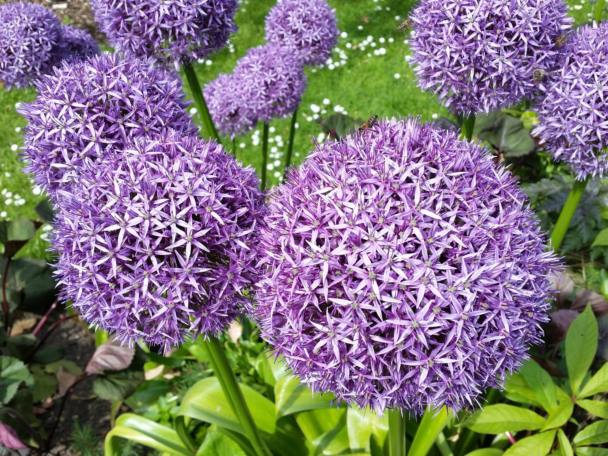 Beautiful purple allium by Emőke Dénes