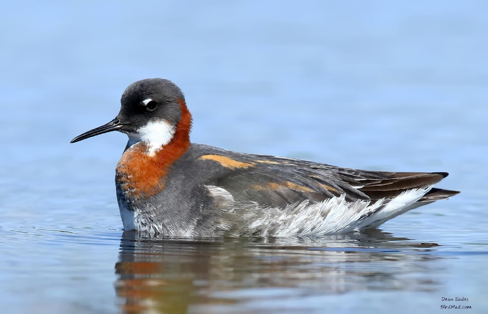 RED NECKED PHALAROPE by deaneades