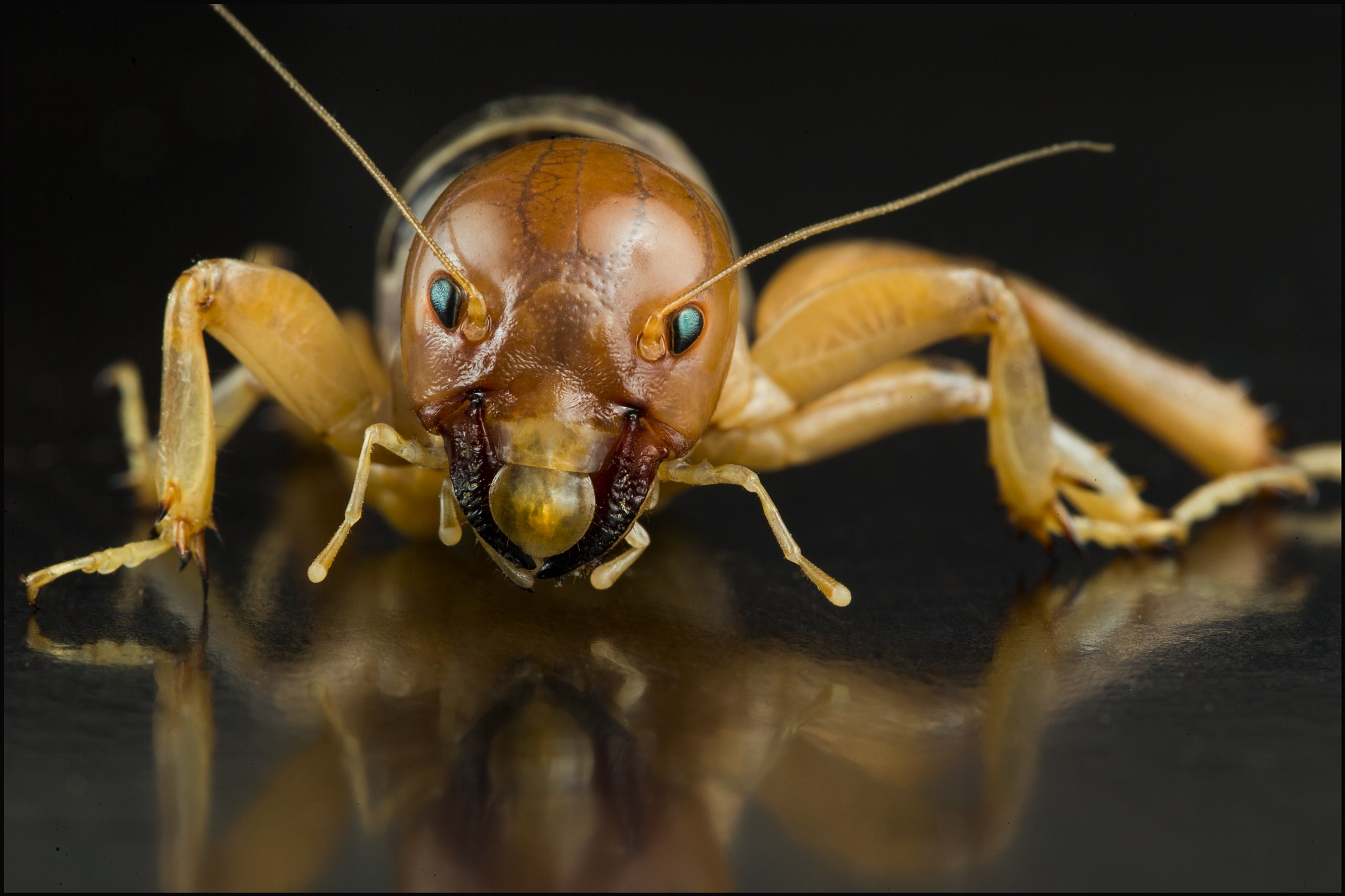 Jerusalem Cricket - also called Potato Bug by Michael Helms