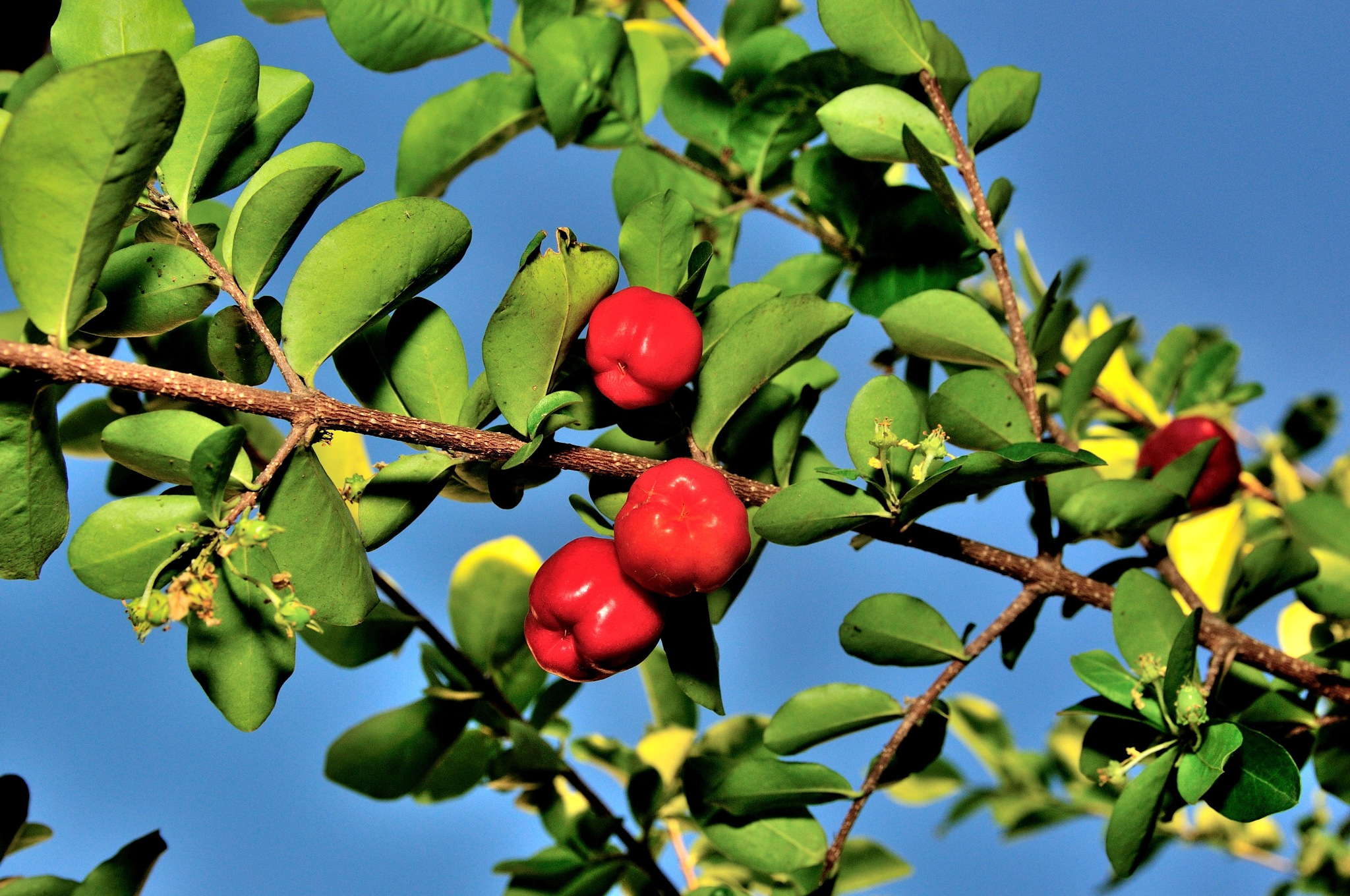 Barbados cherry by jluiz