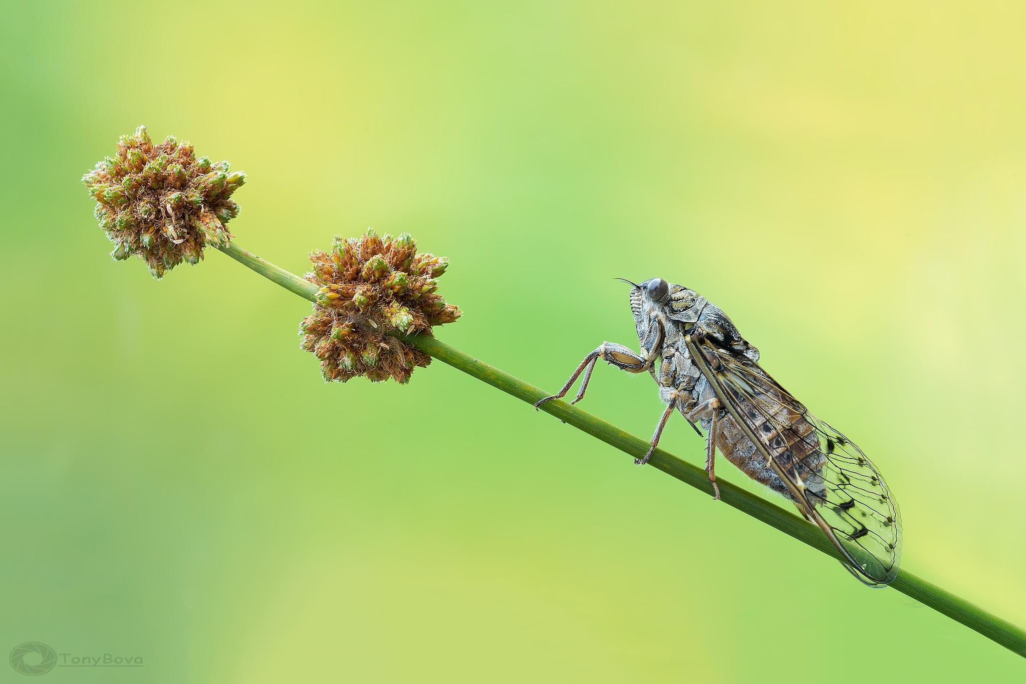 Cicala... 2  by Tony Bova