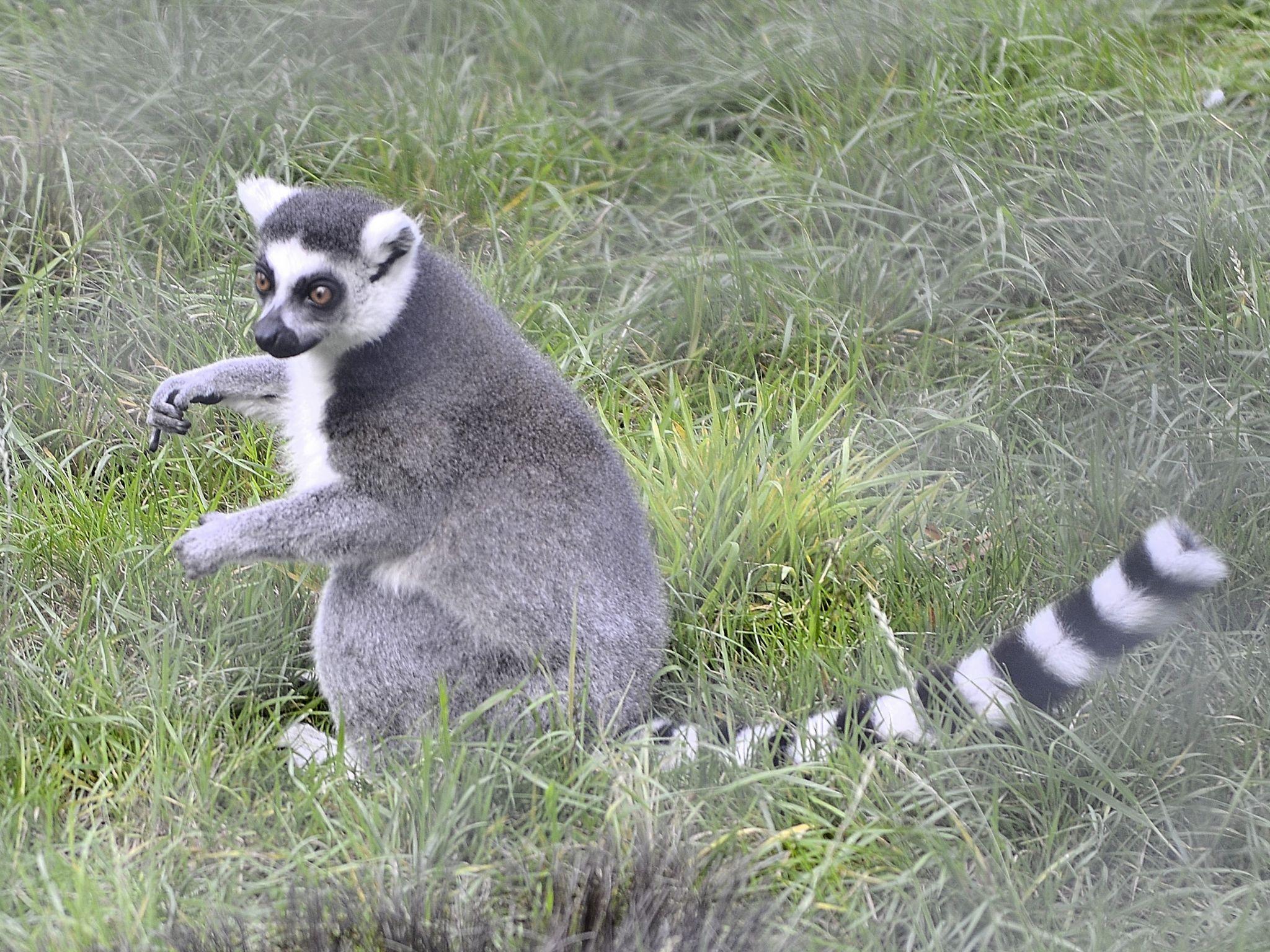 Lemur by goodadvice.com