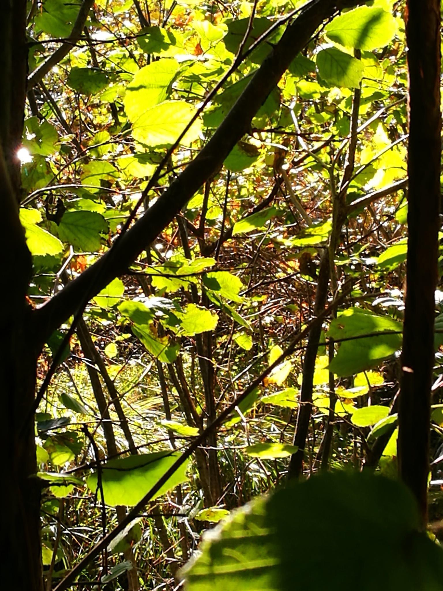 Morningsun in the leaves by Per Herigstad