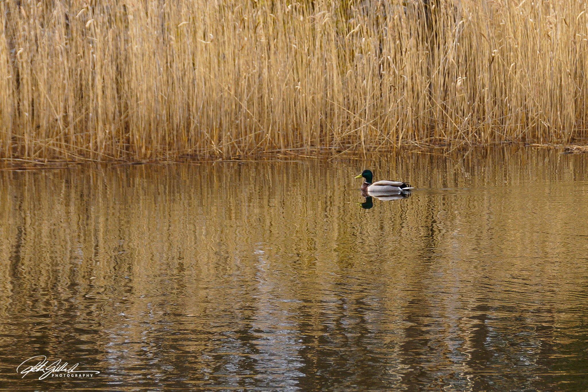 A duck by Ritva Sillanmäki  Photography