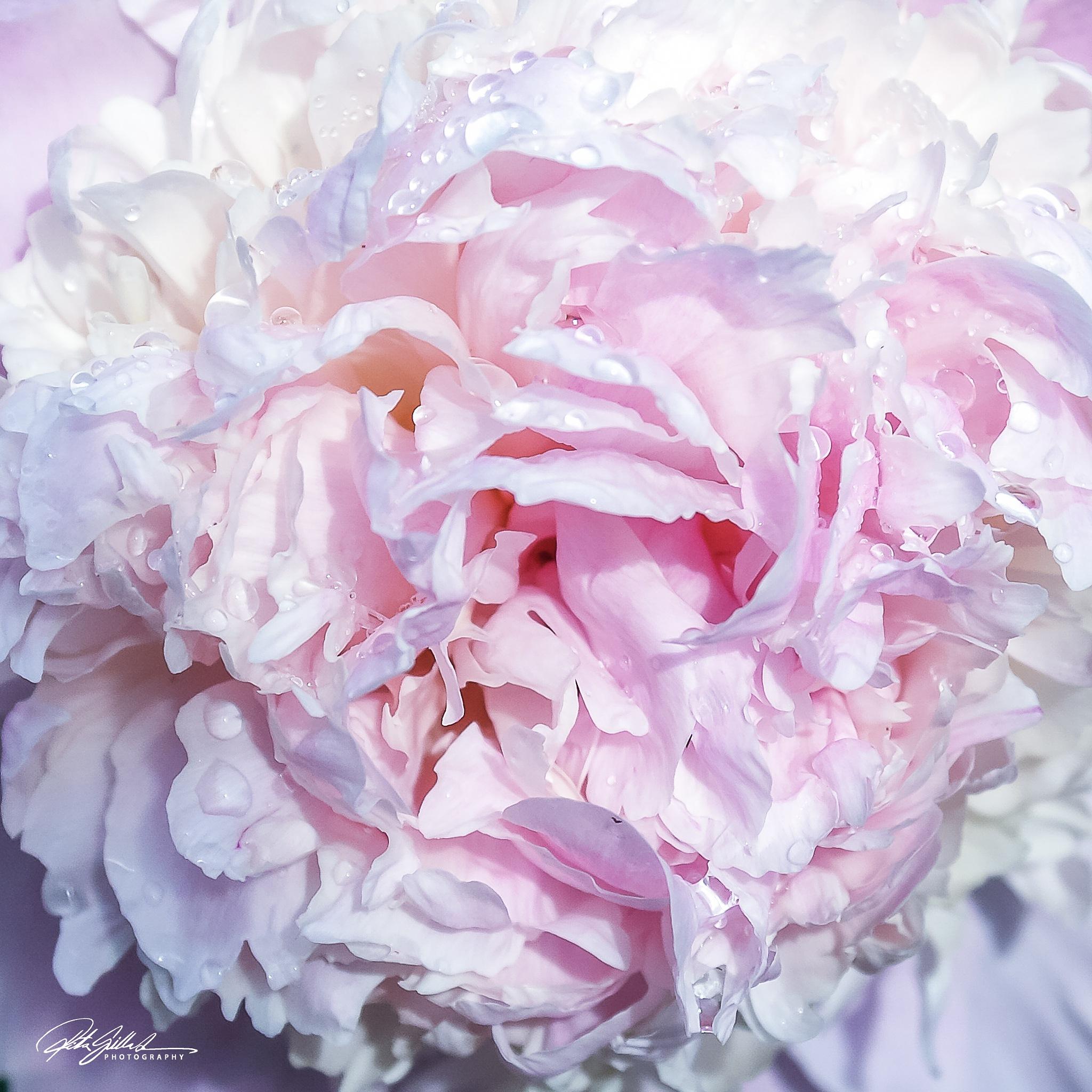 Pink Peony by Ritva Sillanmäki  Photography