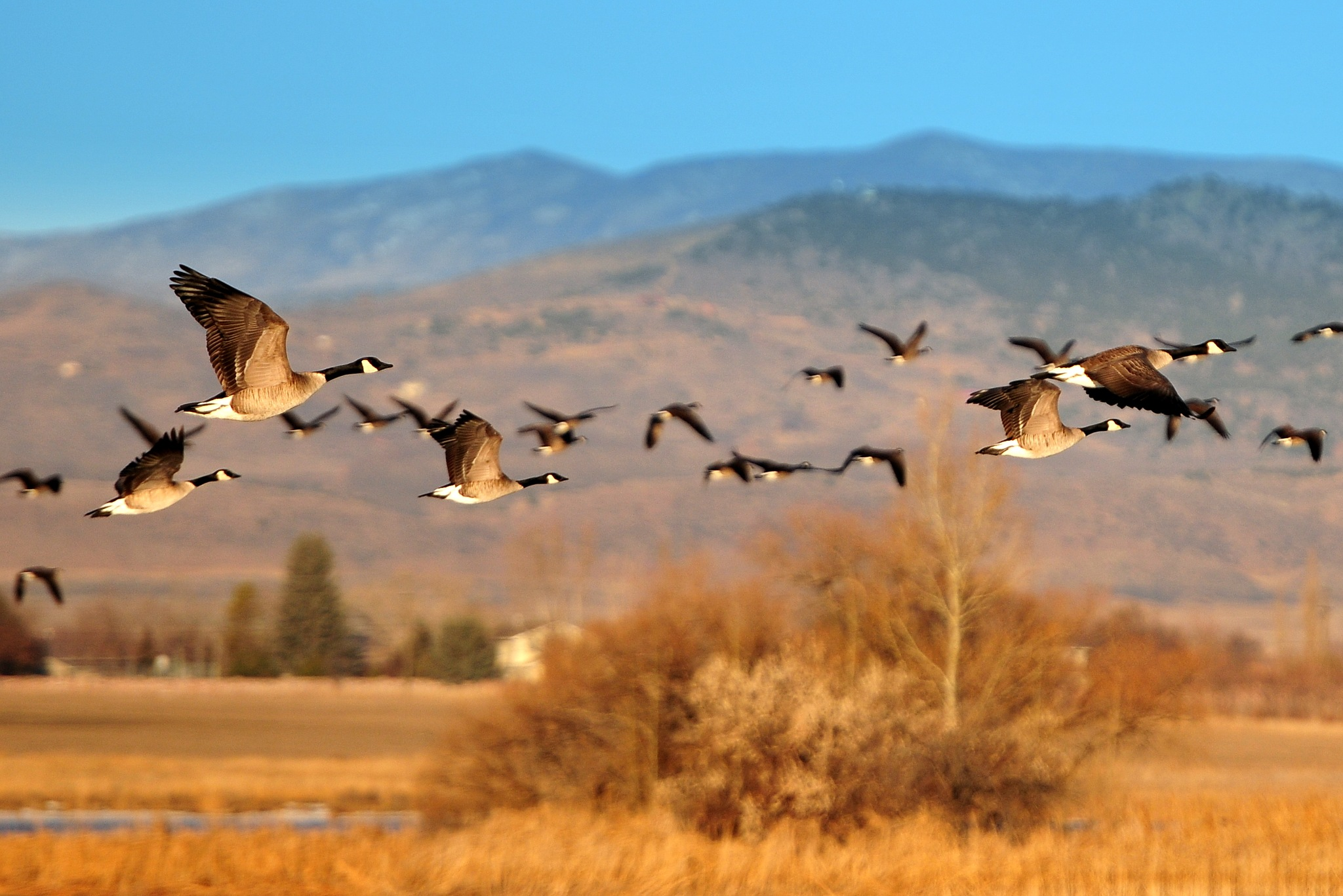 Geese in Flight by Ken Dobbs