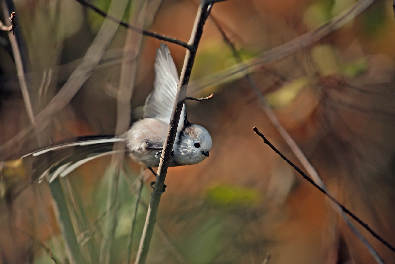 Long-tailed tit by Adam Fichna