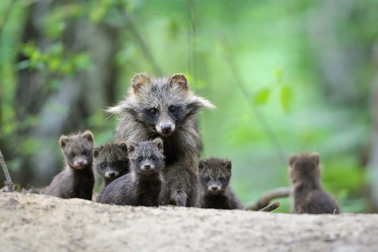 Raccoon dogs by Adam Fichna