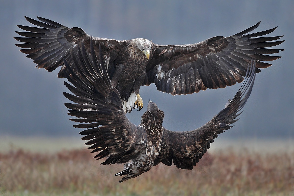 White-tailed eagle by Adam Fichna