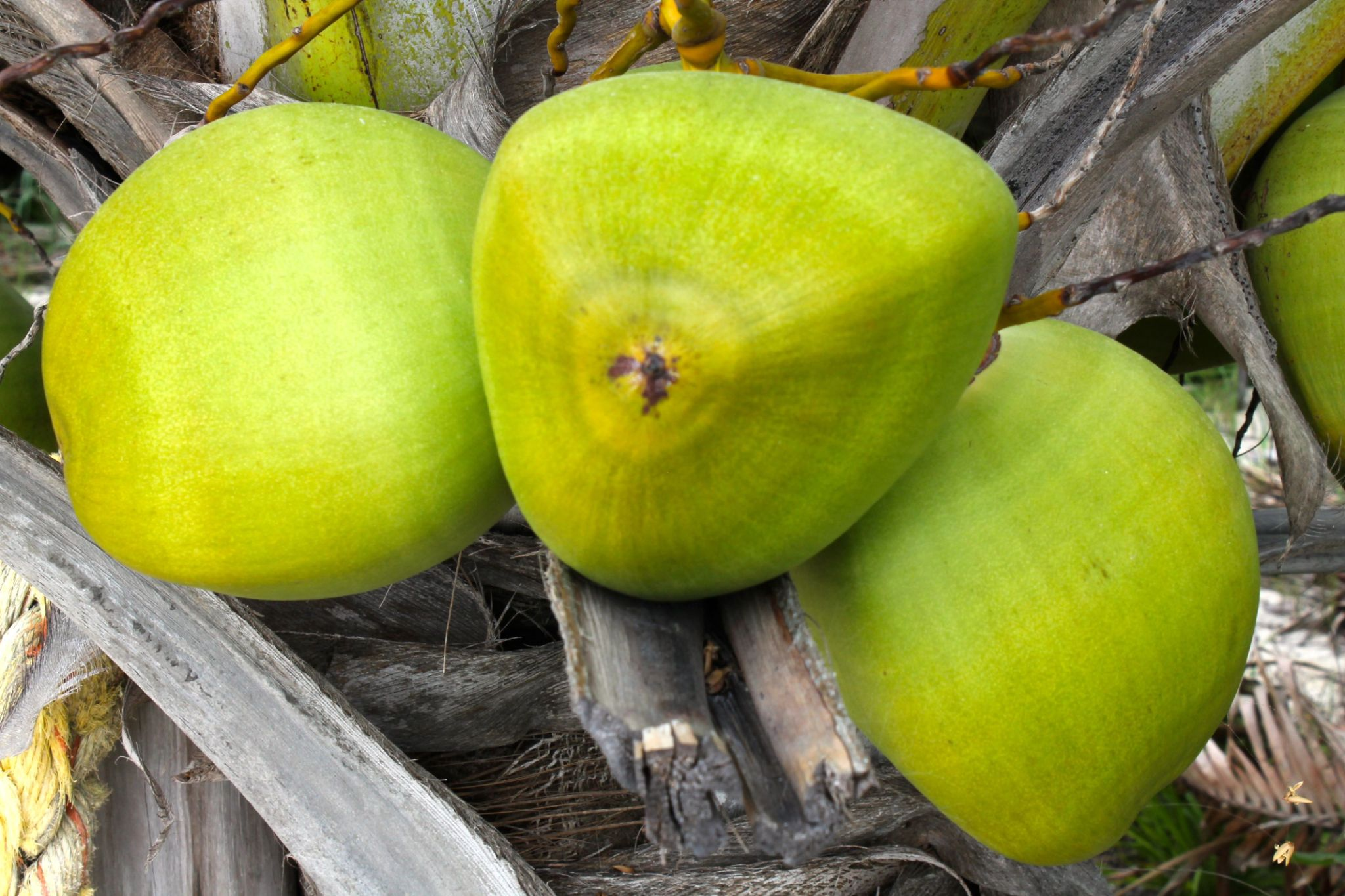 Coconuts  - Abaco ,Bahamas by Sandra Dubout