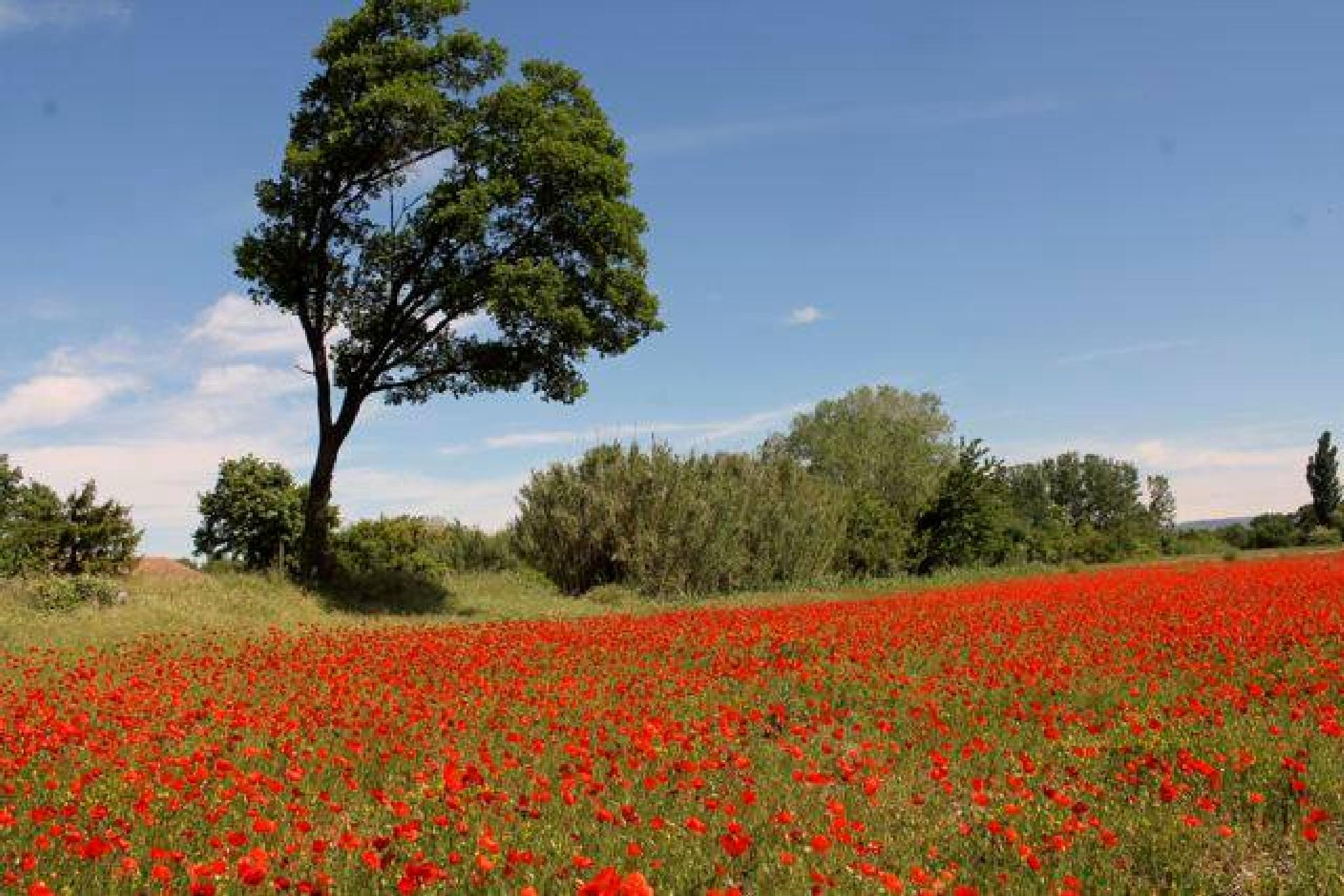 My country competition , Poppies summer in Provence.  by Sandra Dubout