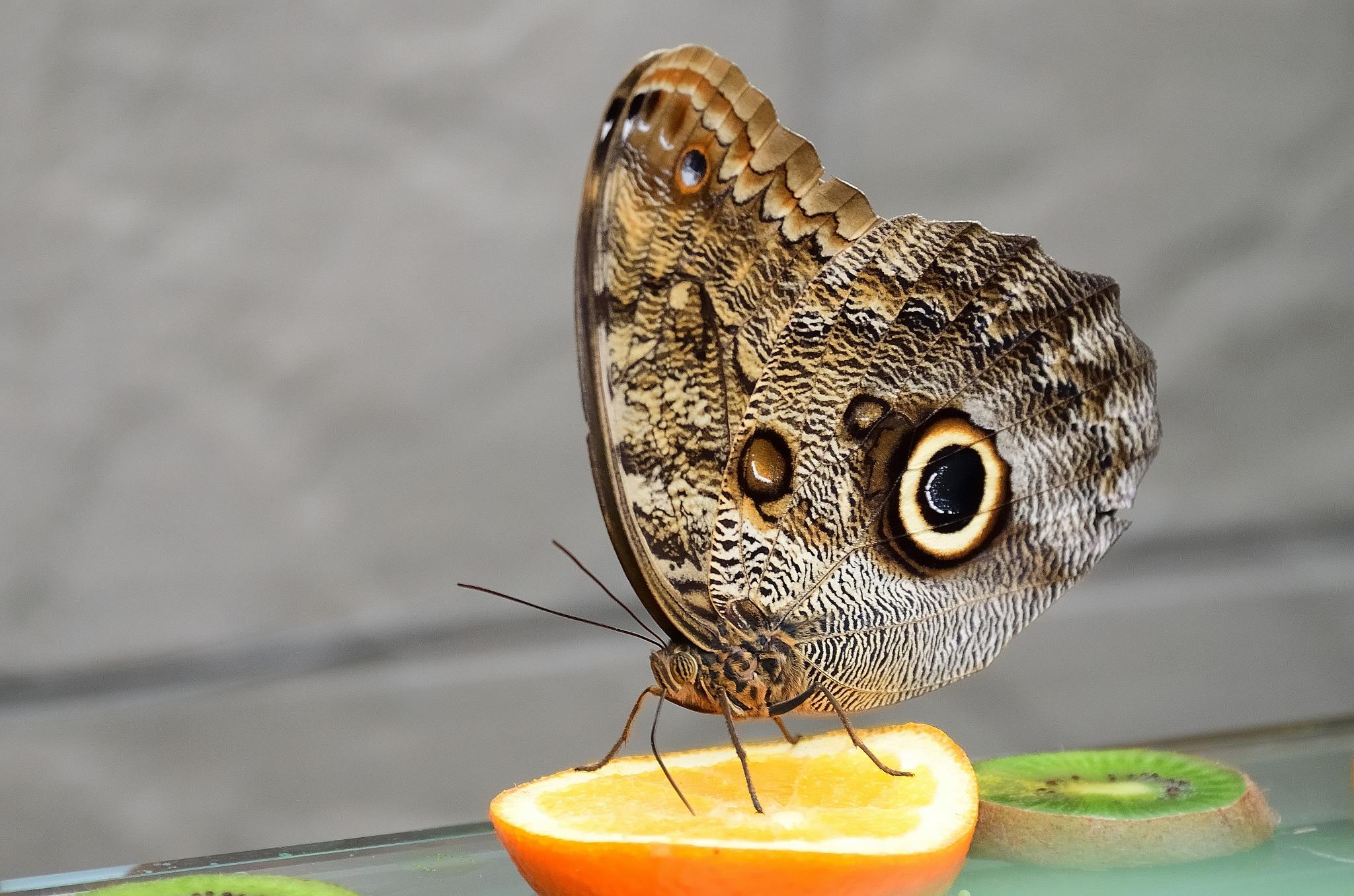 Papillon hibou Giant Owl by Georges Pilotte