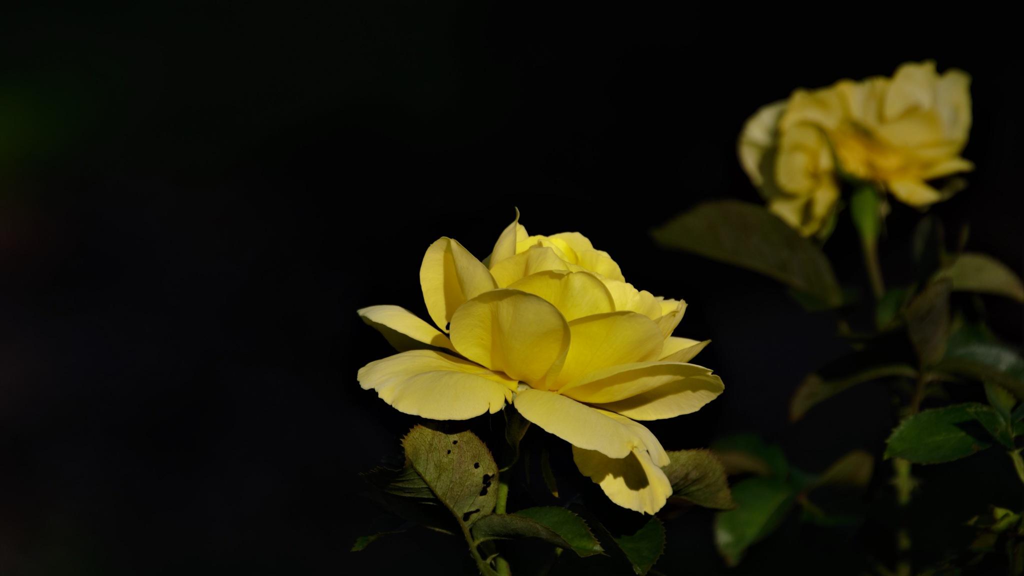 Rose Quebec by Georges Pilotte