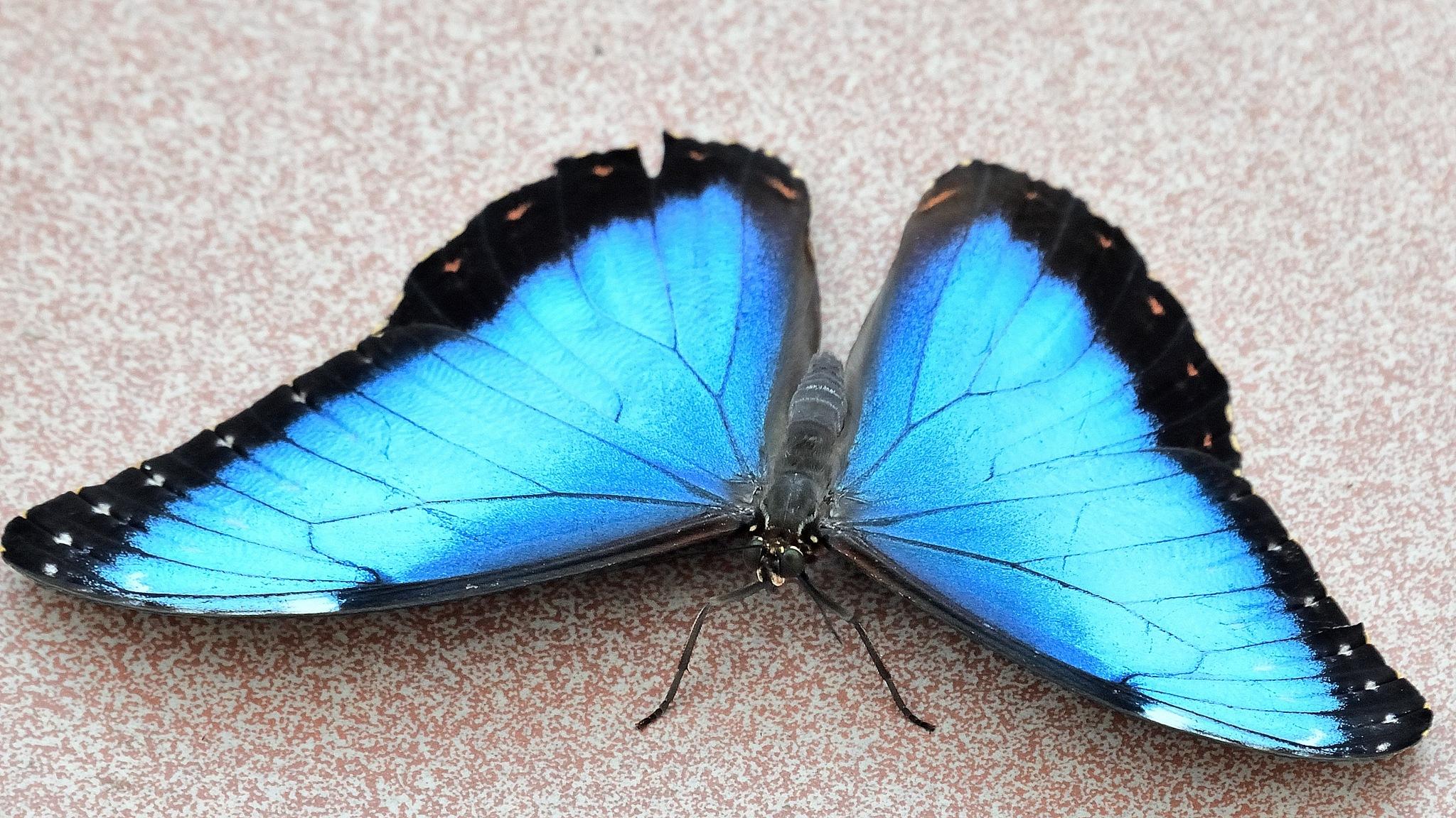 Morpho bleu Blue Morpho by Georges Pilotte