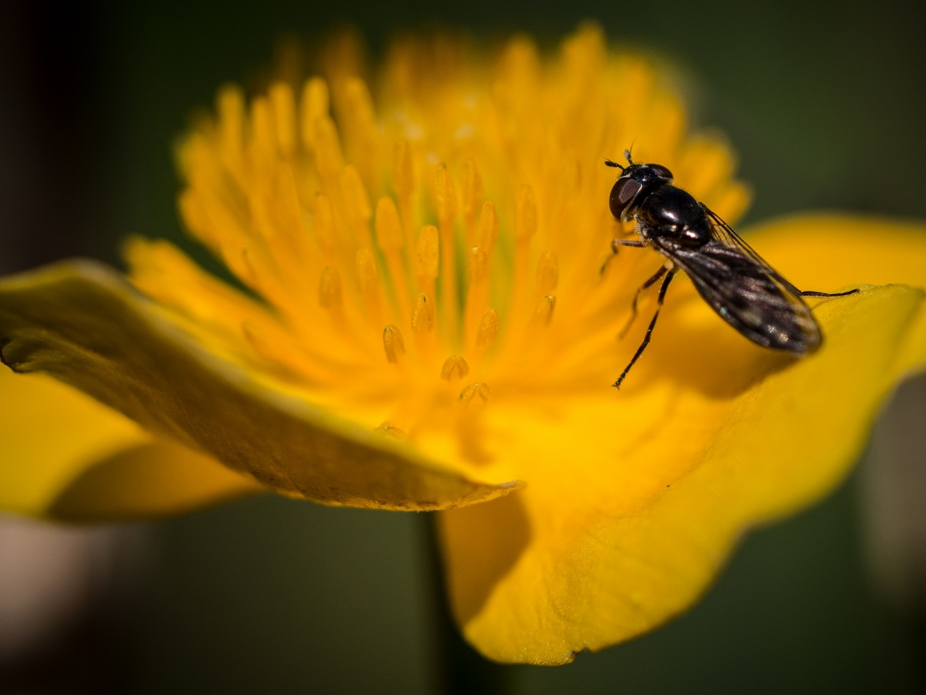 Fly on flower by draycottphotography