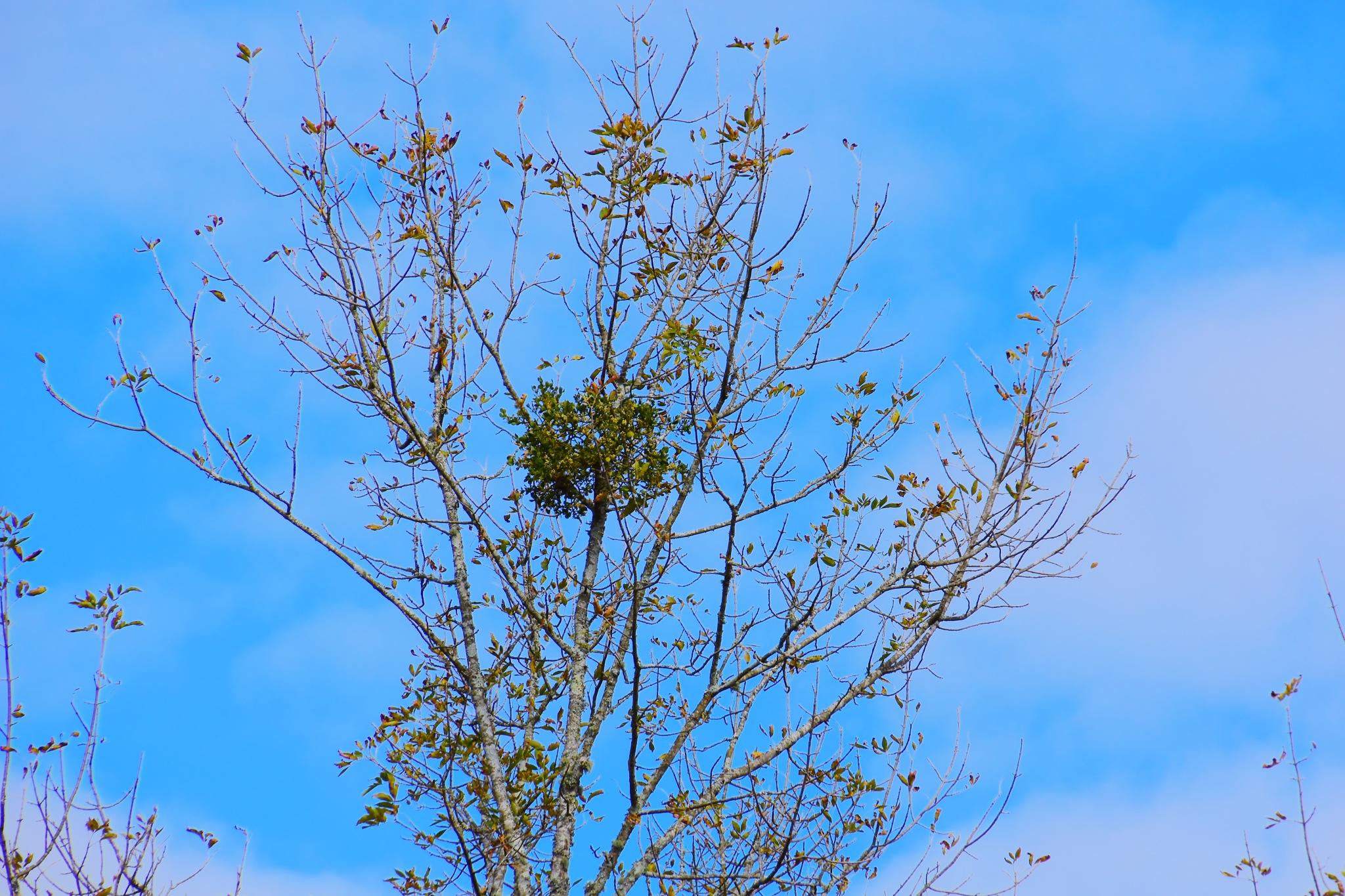 Mistletoe by Greg Knott