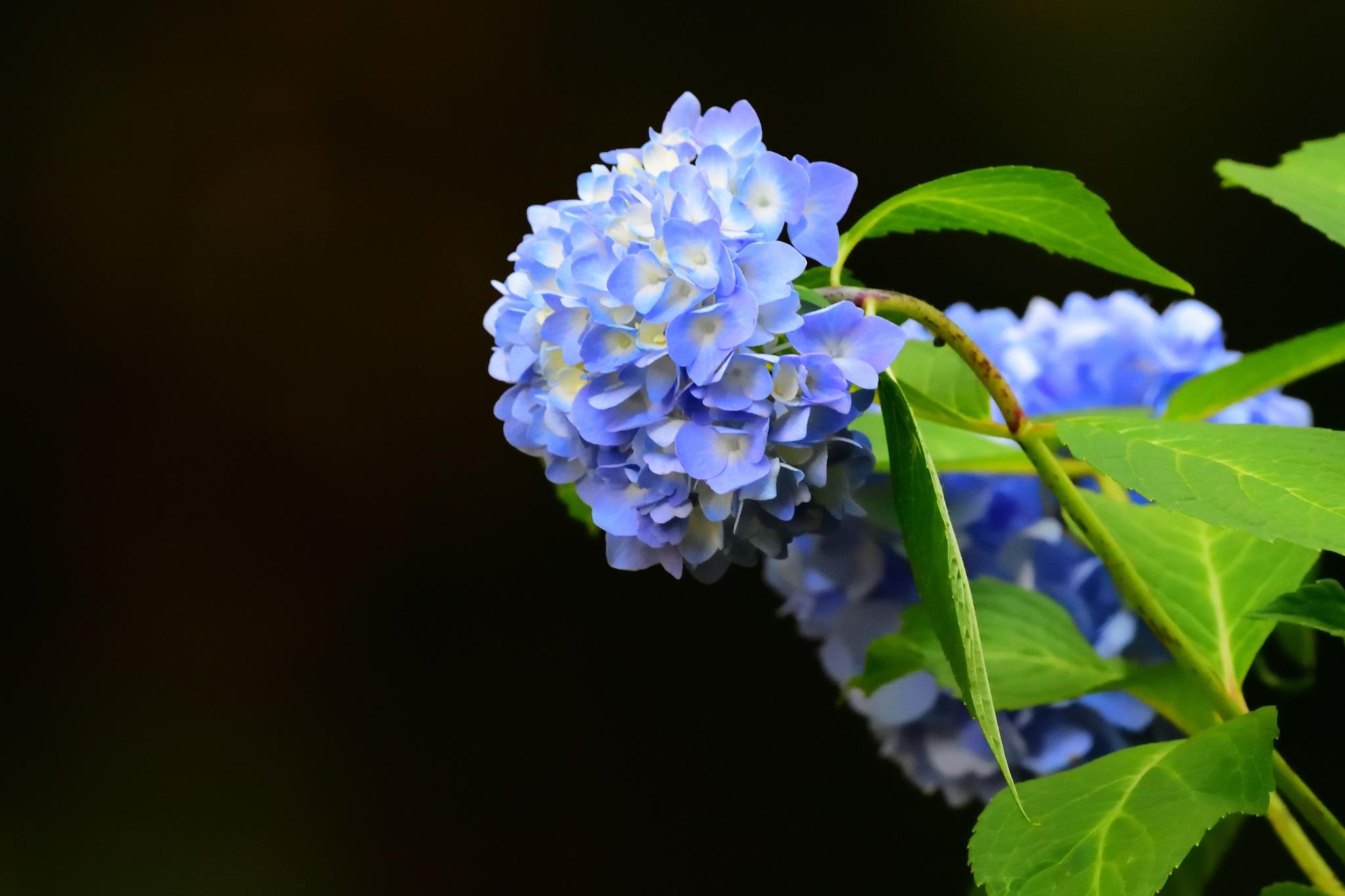 Hydrangea Bloom #3 by Greg Knott