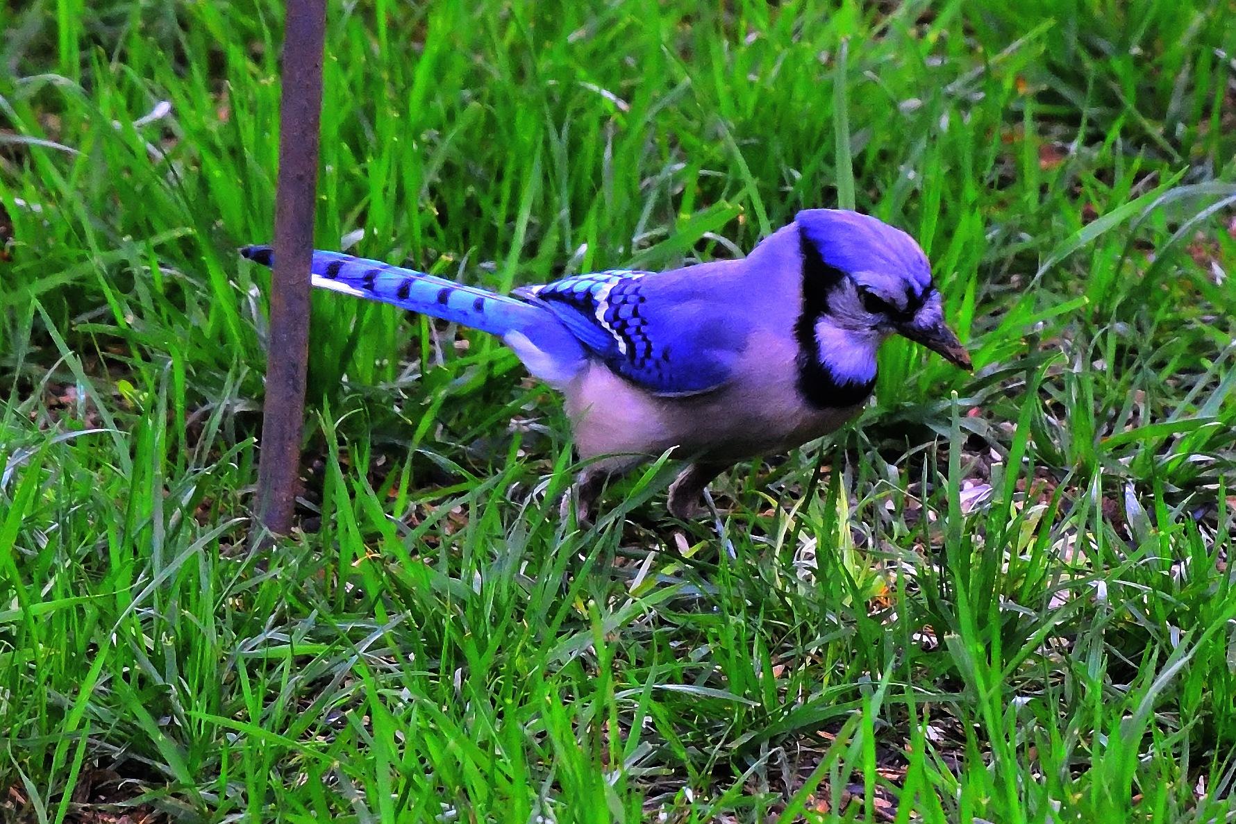 Blue Jay #2 by Greg Knott