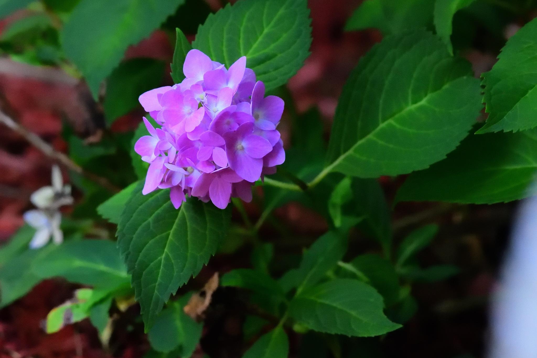 Hydrangea Bloom #2 by Greg Knott