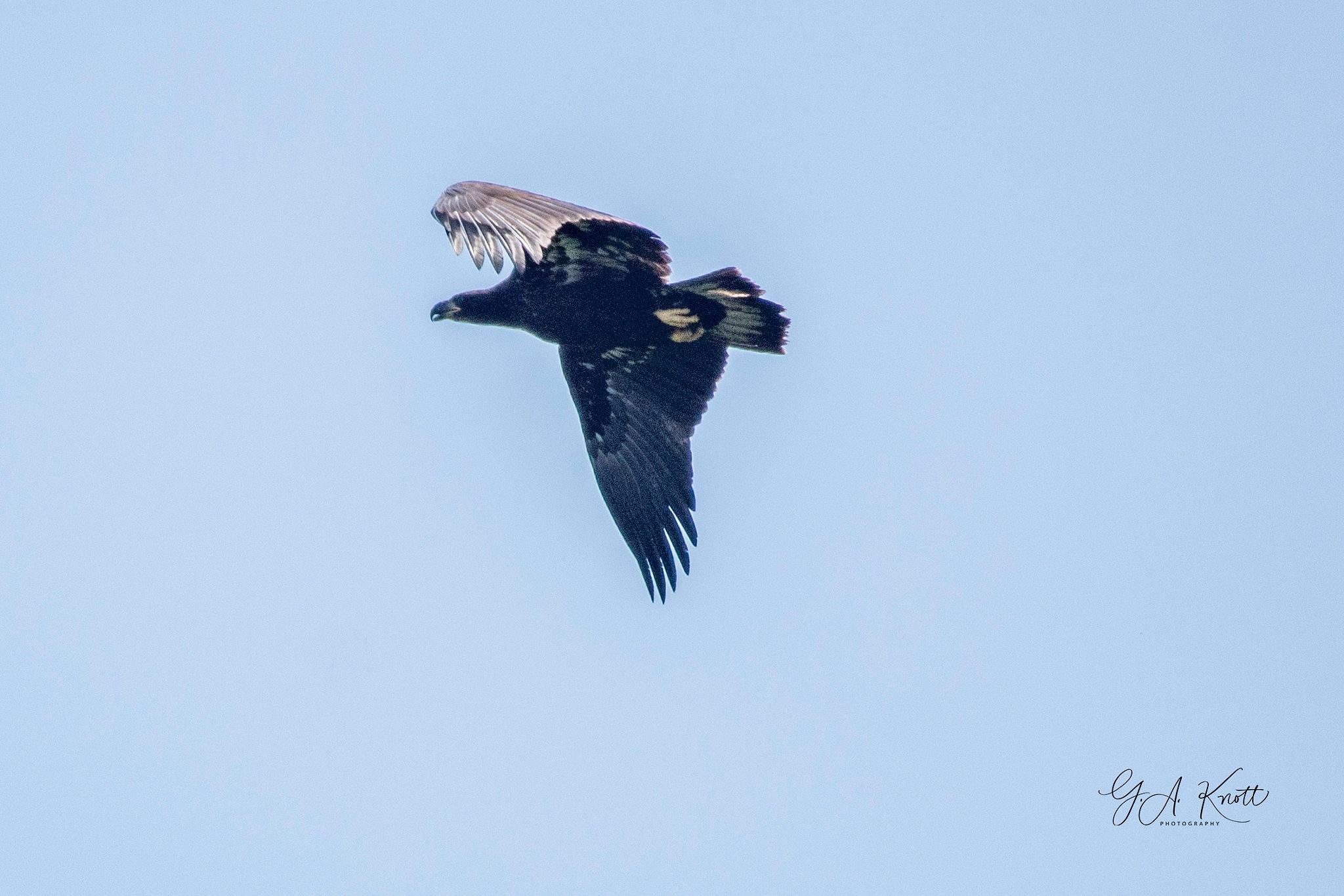 Juvenile Bald Eagle by Greg Knott