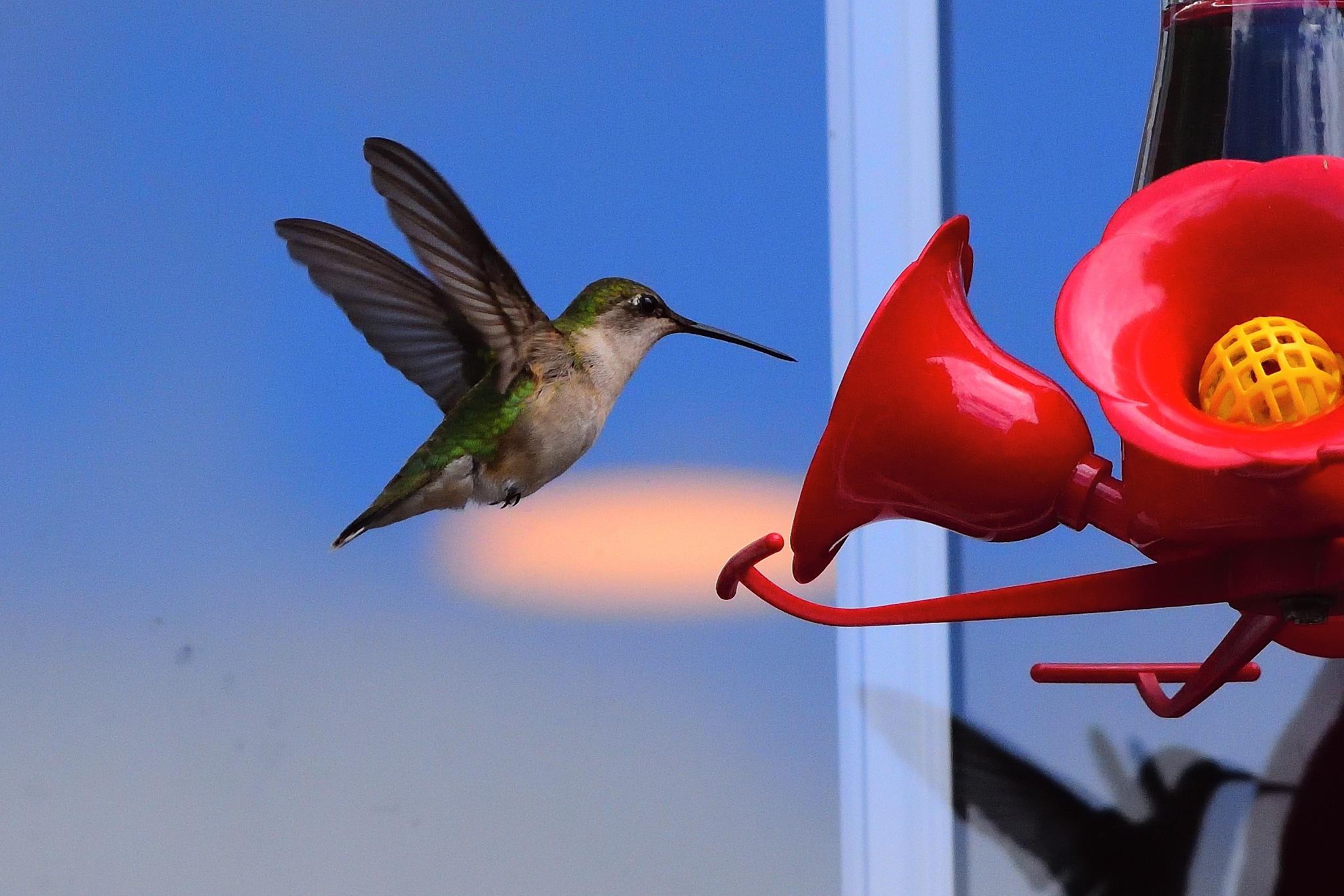 Hummingbird #3 by Greg Knott