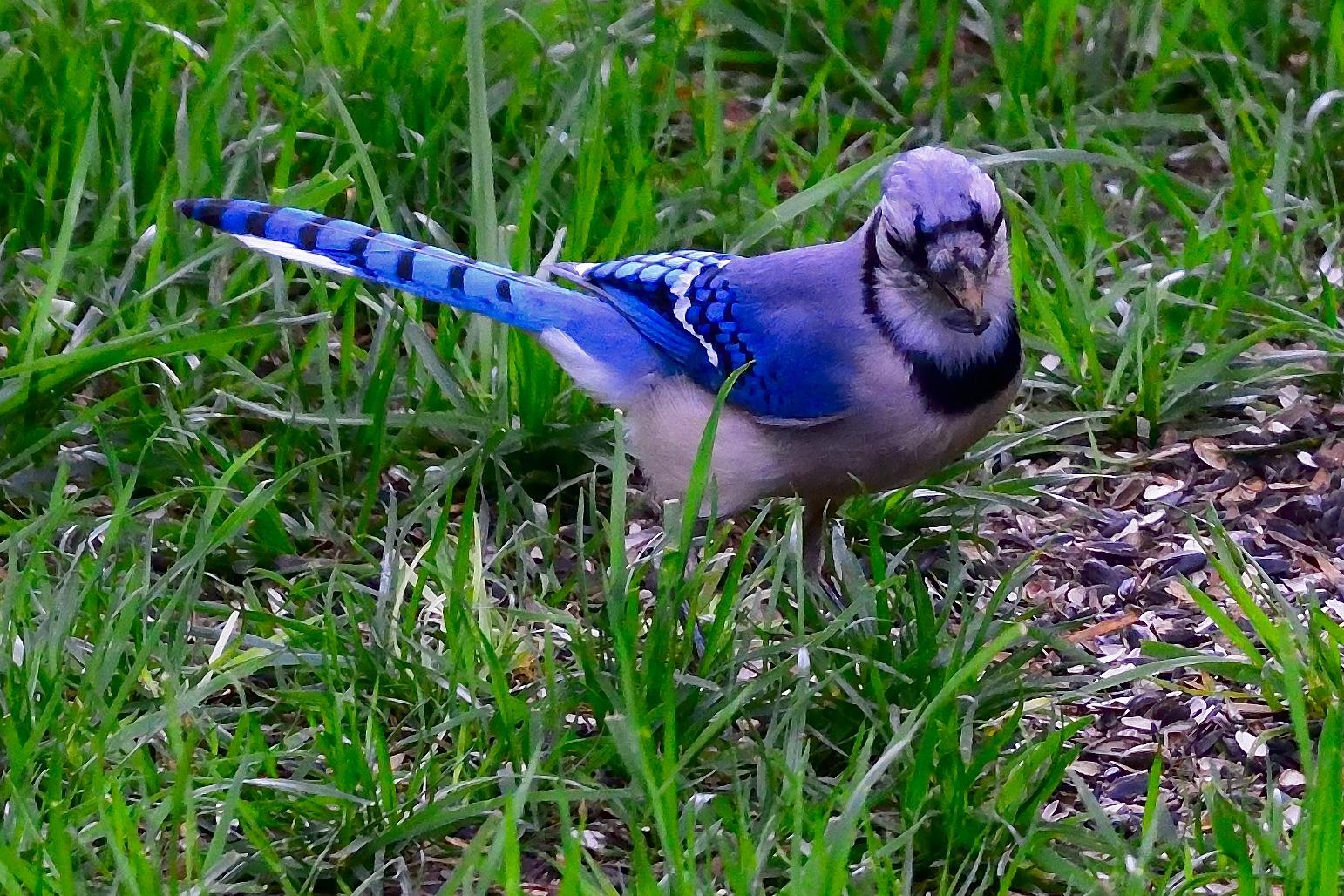 Blue Jay 1 by Greg Knott