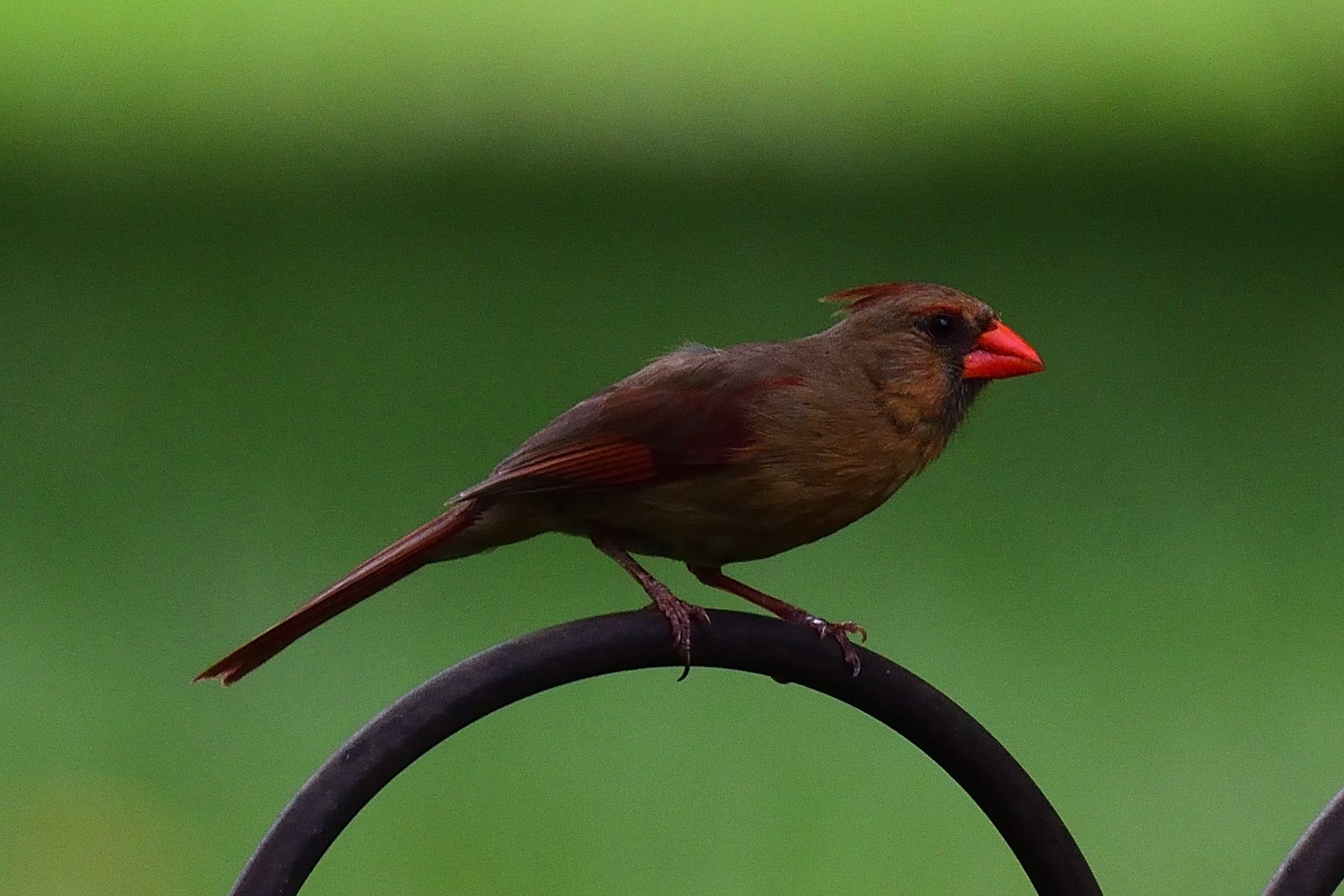 Young Female Cardinal by Greg Knott