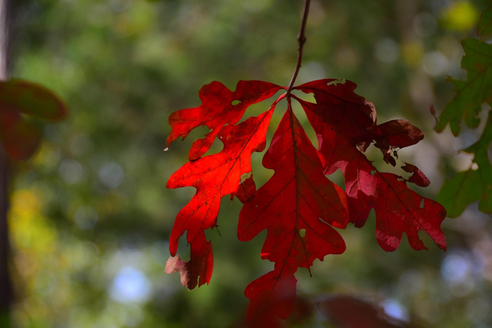 Red Leaf by Greg Knott