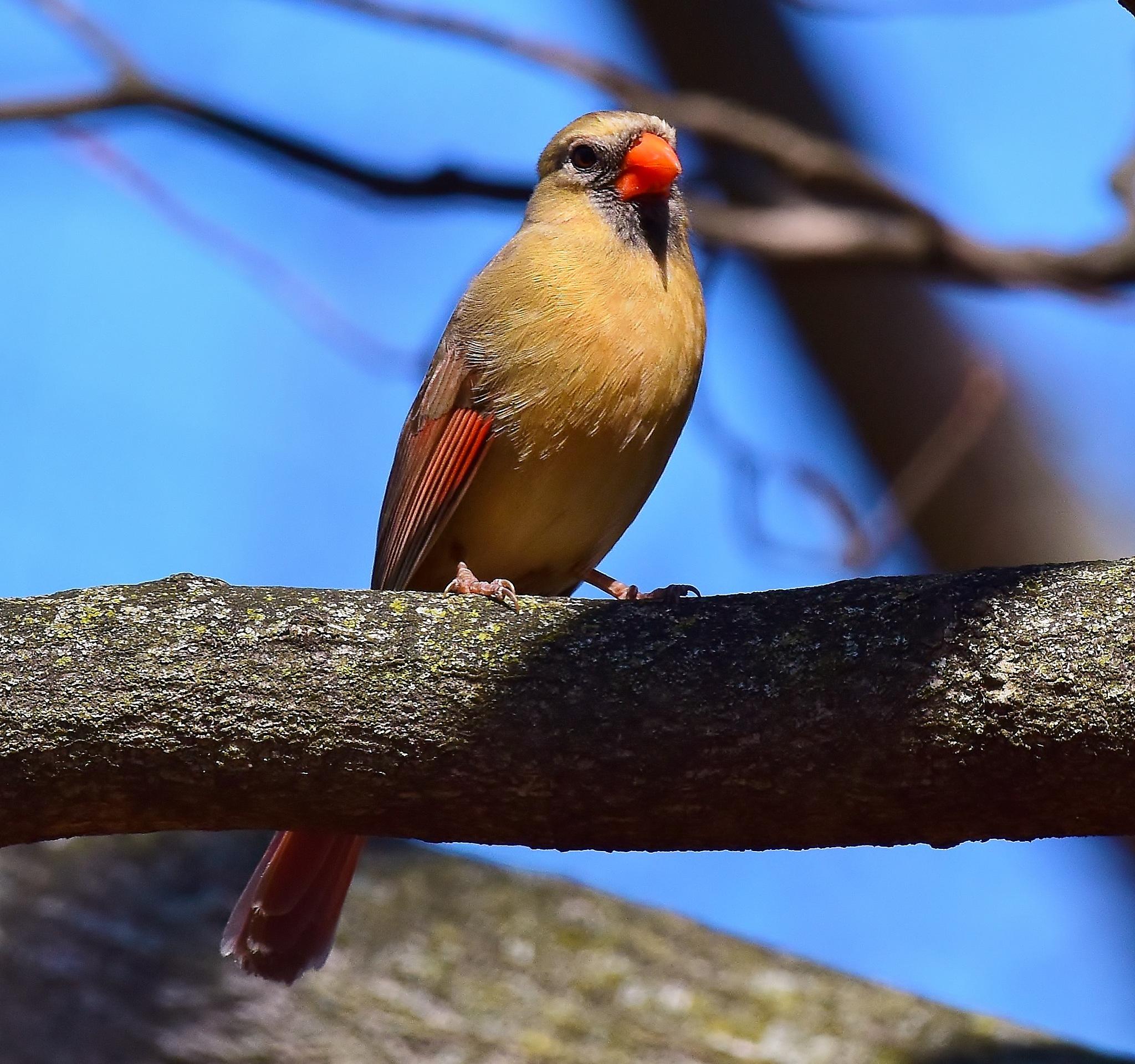 Lady Cardinal by Greg Knott