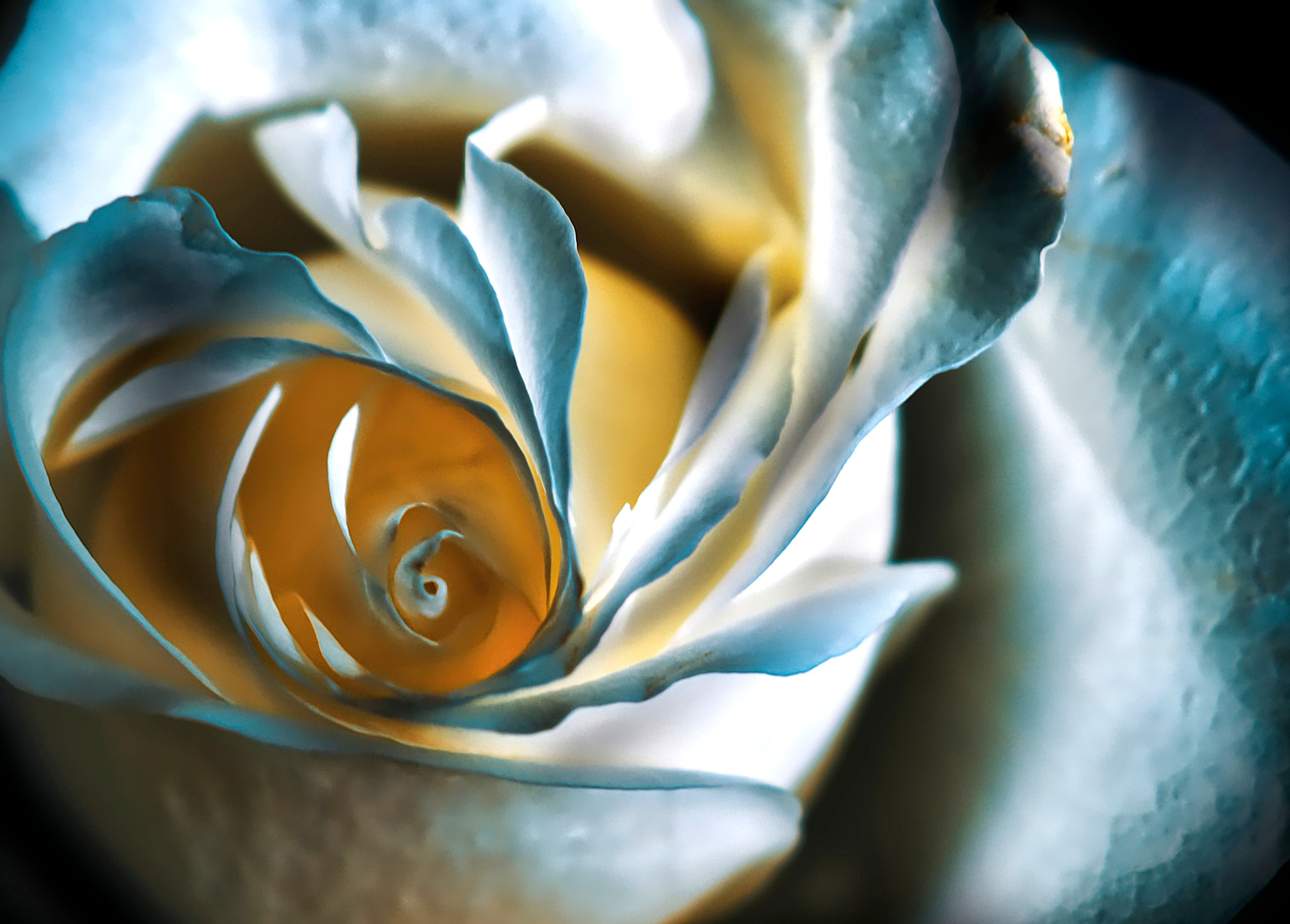 Photo in Still Life #rose #color #closeup #blue #blooming